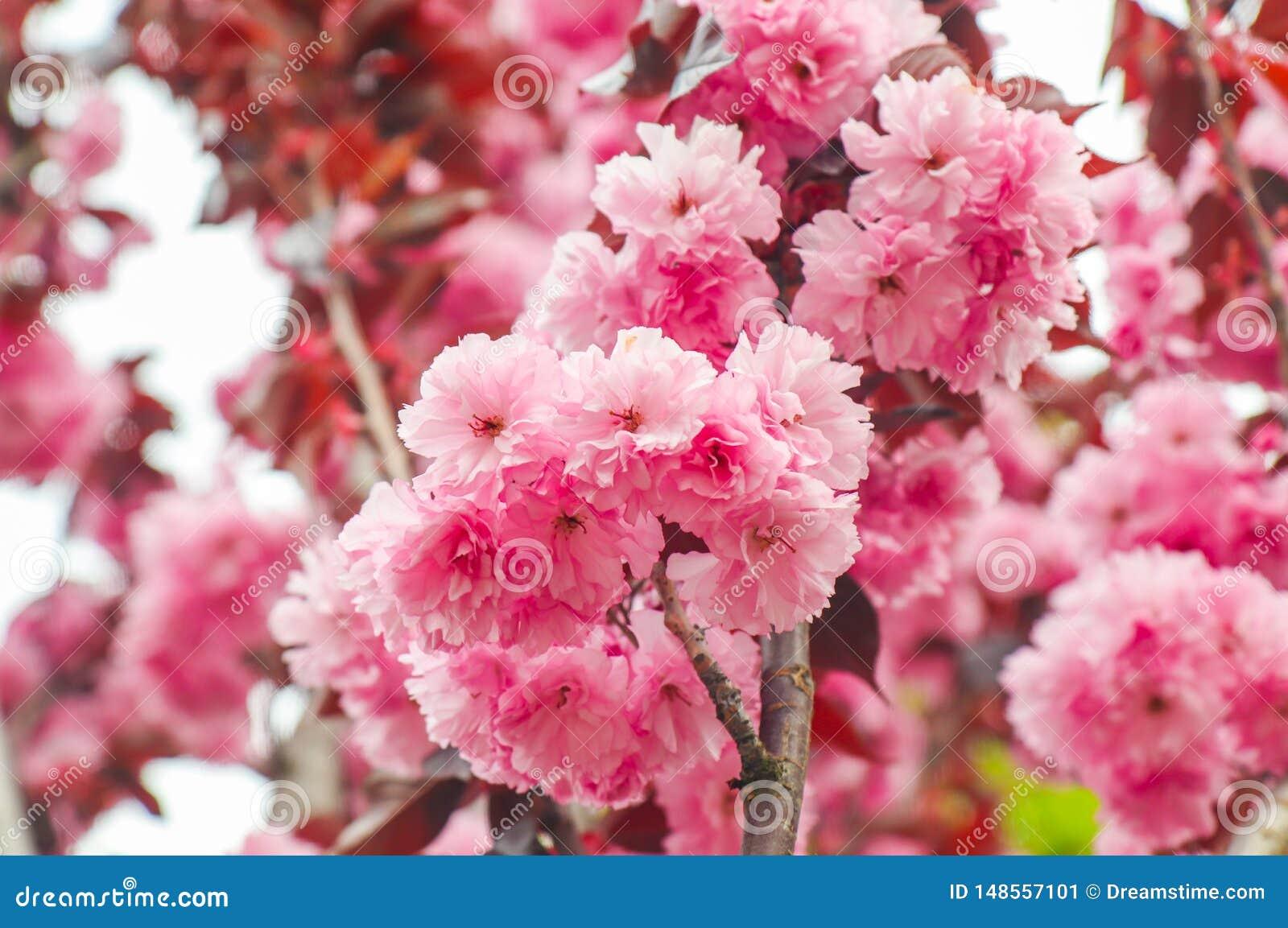 Il petalo rosa dell albero di San Bartolomeo o Lagerstromia bacca della Cina o indica o lillà del primo piano del sud