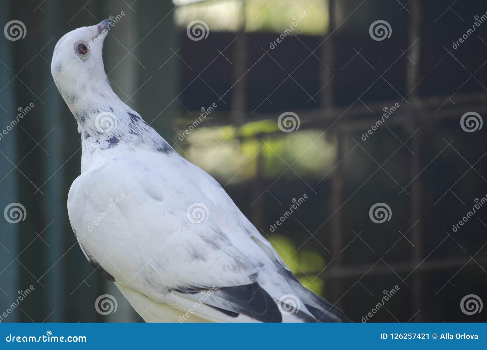 Il piccione postale di sport è bianco