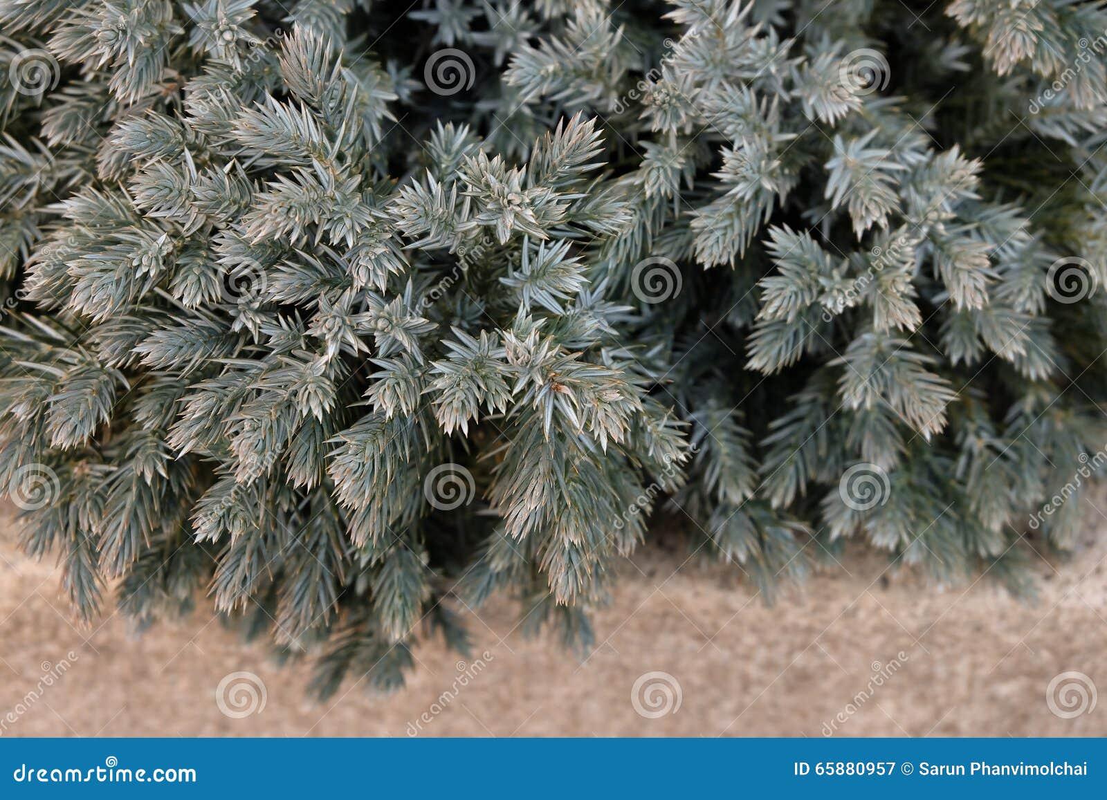 Il piccolo cespuglio sempreverde