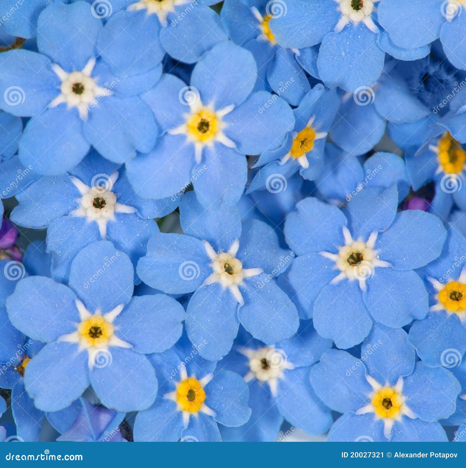 Il piccolo nontiscordardime blu fiorisce la priorità bassa