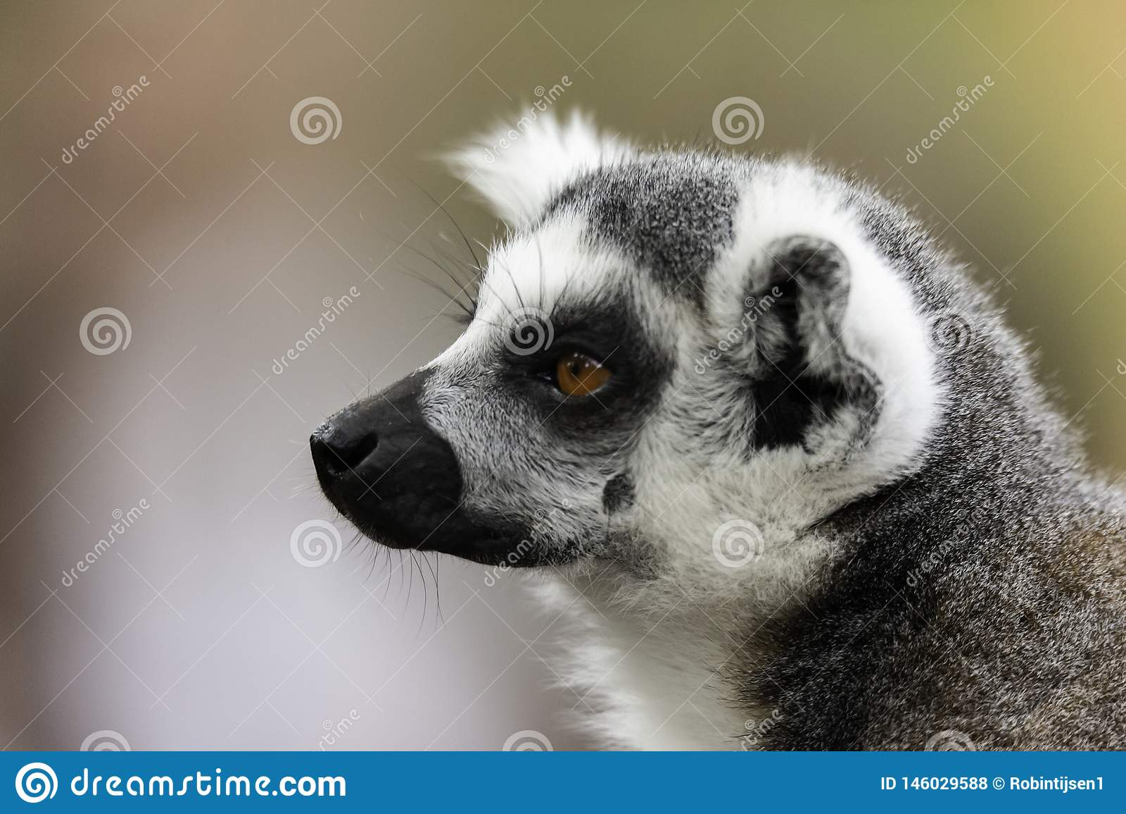 Il portret di catta delle lemure delle lemure catta