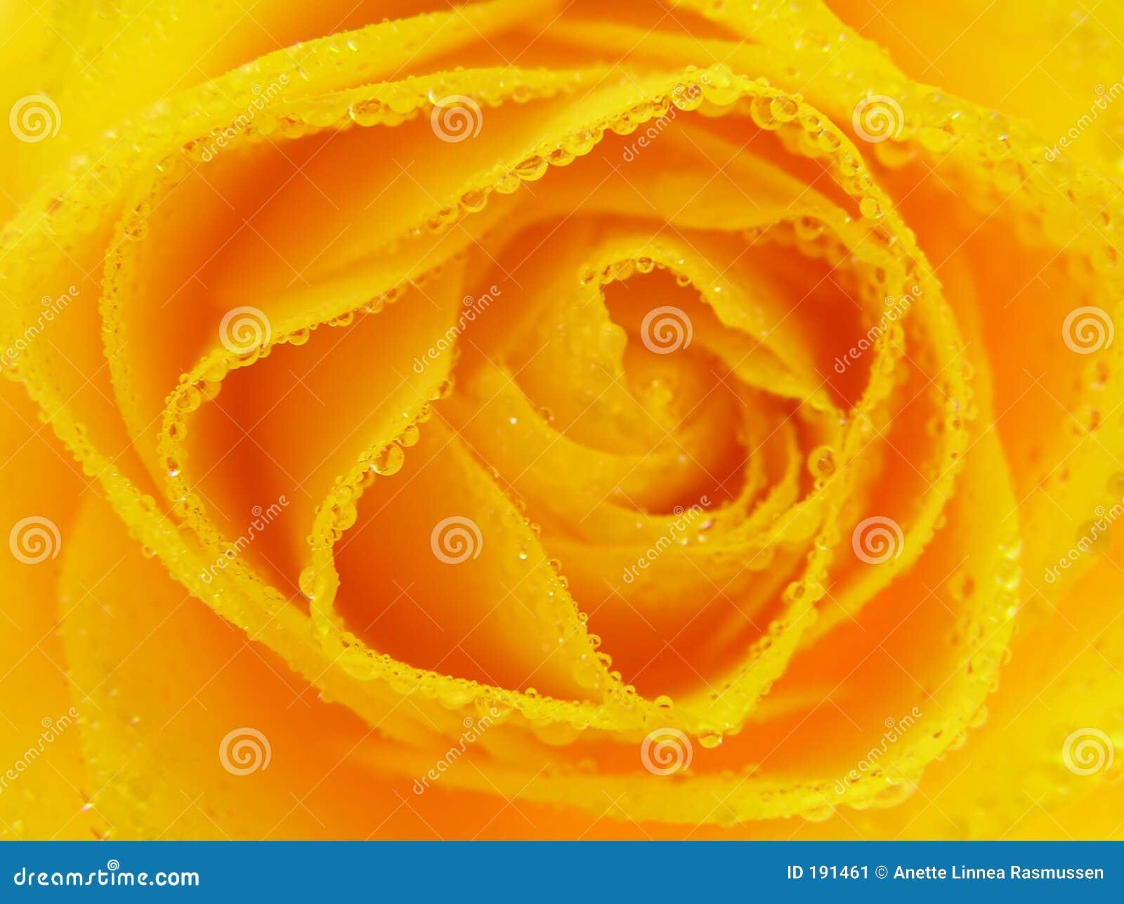 Il primo piano del colore giallo è aumentato con le gocce