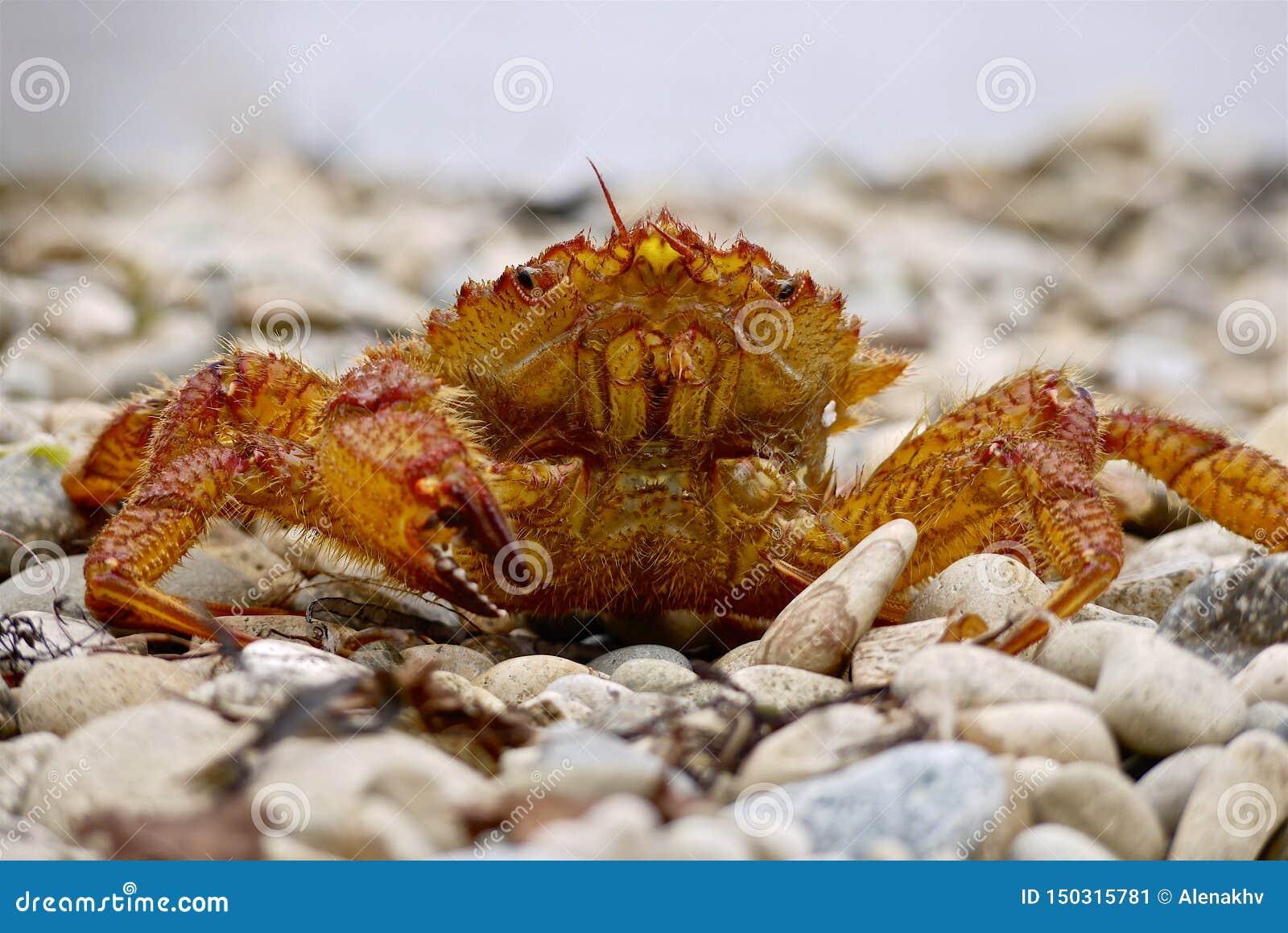 Il primo piano del granchio in tensione si siede su un ciottolo del mare