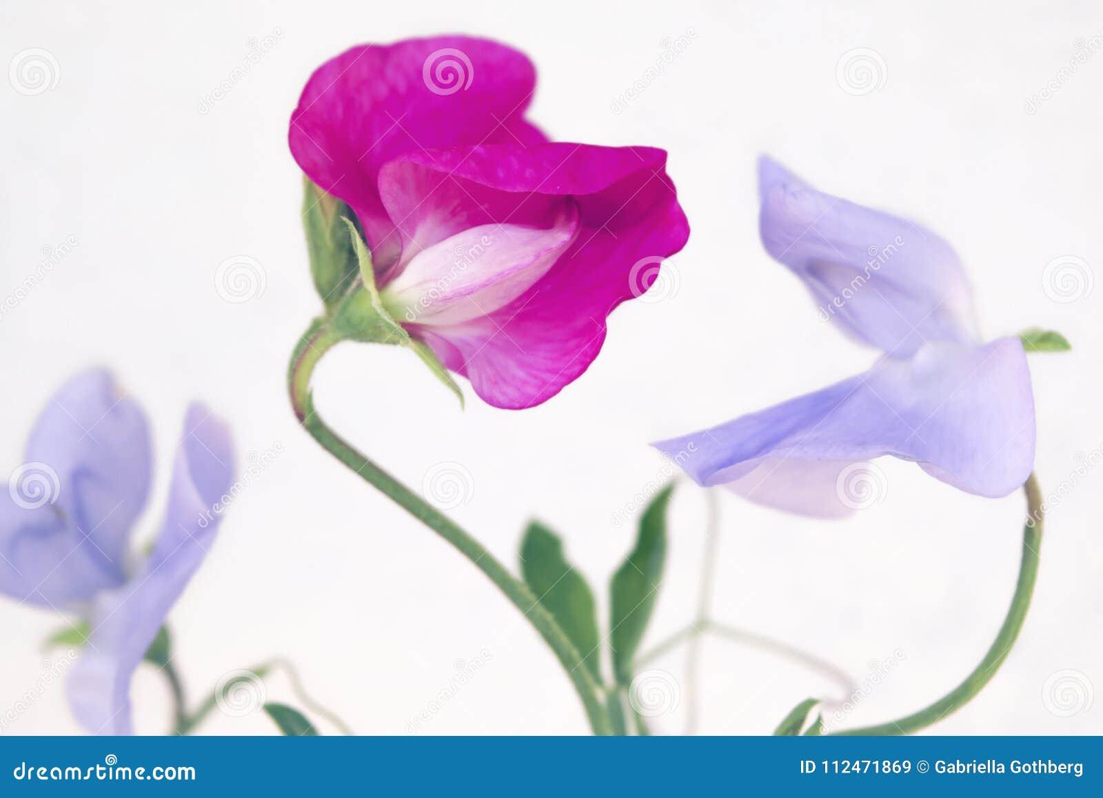 Il primo piano del pisello dolce delicato rosa e porpora fiorisce