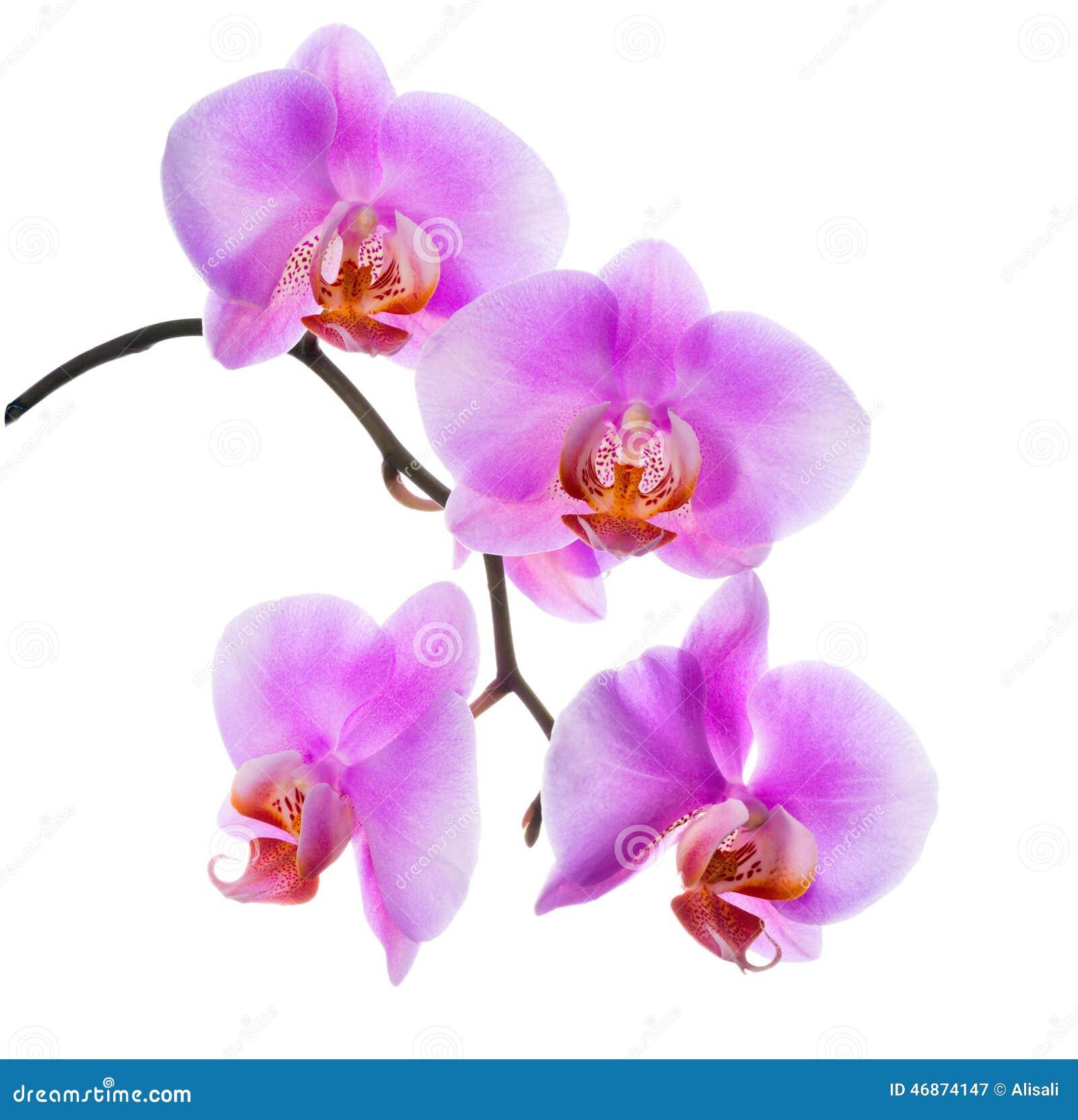 Il primo piano dell 39 orchidea lilla di fioritura del ramo for Orchidea fioritura