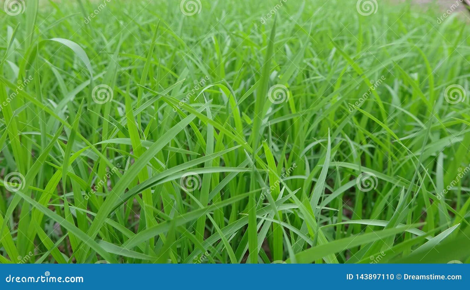 Il primo piano delle piantine, questo è le piantine coltivate dagli agricoltori