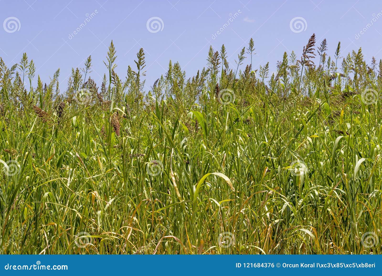 Il primo piano ha sparato delle piante della bacca di grano nell ordine