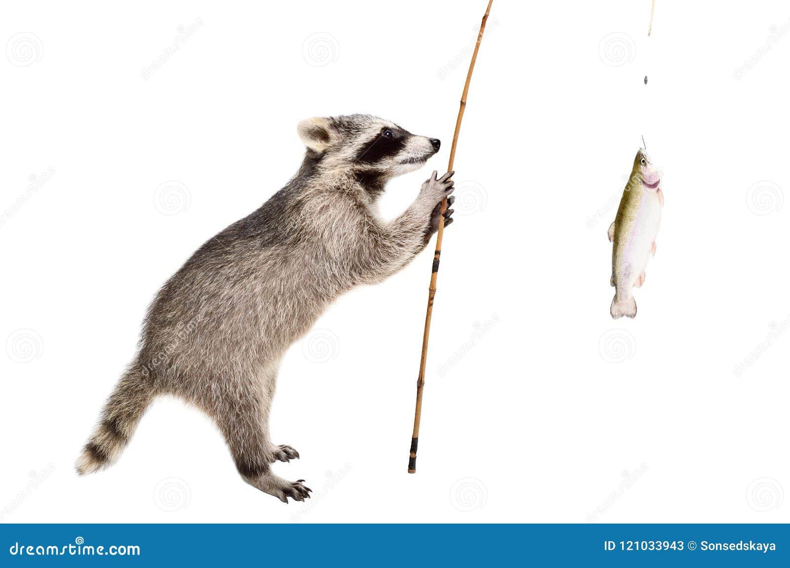 Il procione che sta con una trota ha preso una canna da pesca