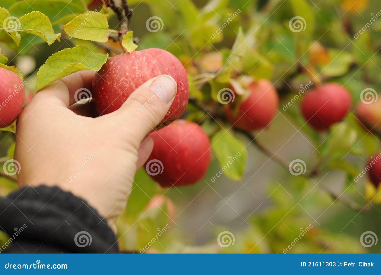 Il raccolto del Apple