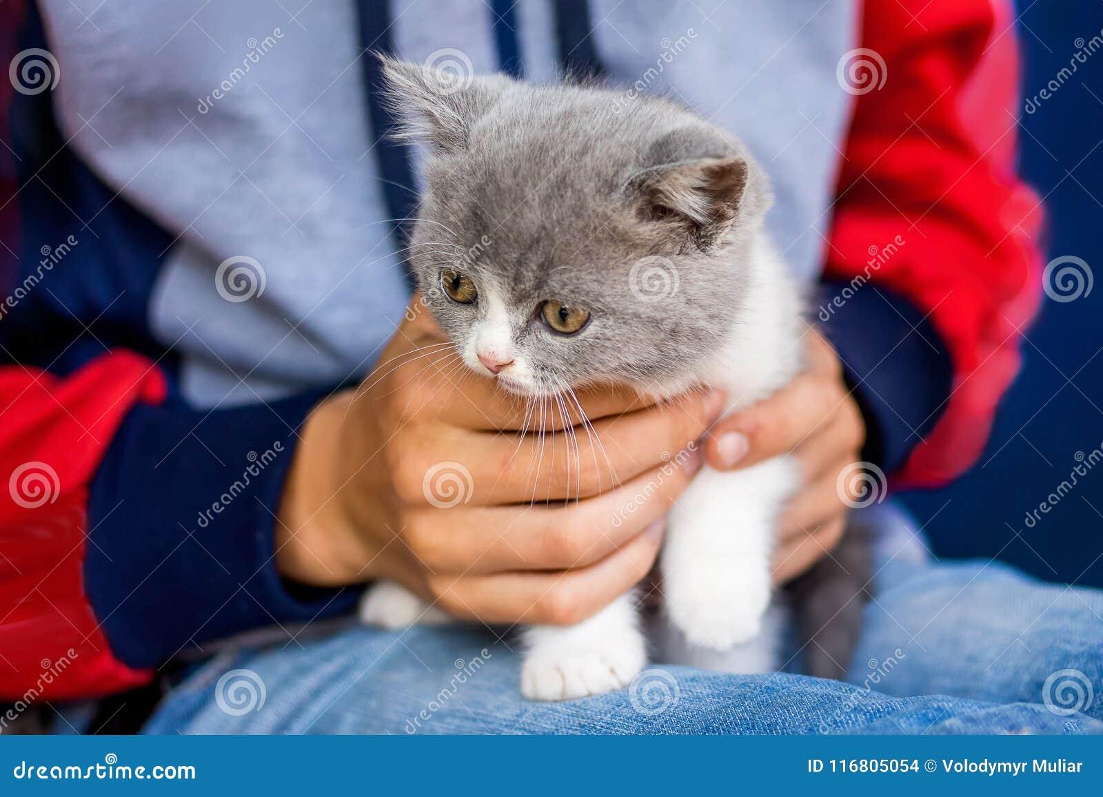 Il ragazzo tiene sul suo piccolo popolare grigio dello Scottish del gattino delle mani attraggasi