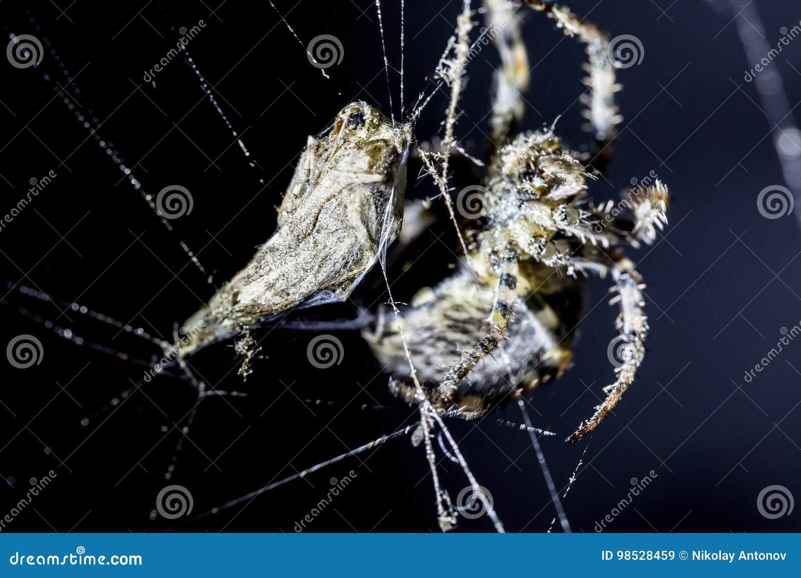 Il ragno attacca il sacrificio della farfalla nel web del ` s del ragno su fondo nero Aracnide nel web Immagine alta vicina di es