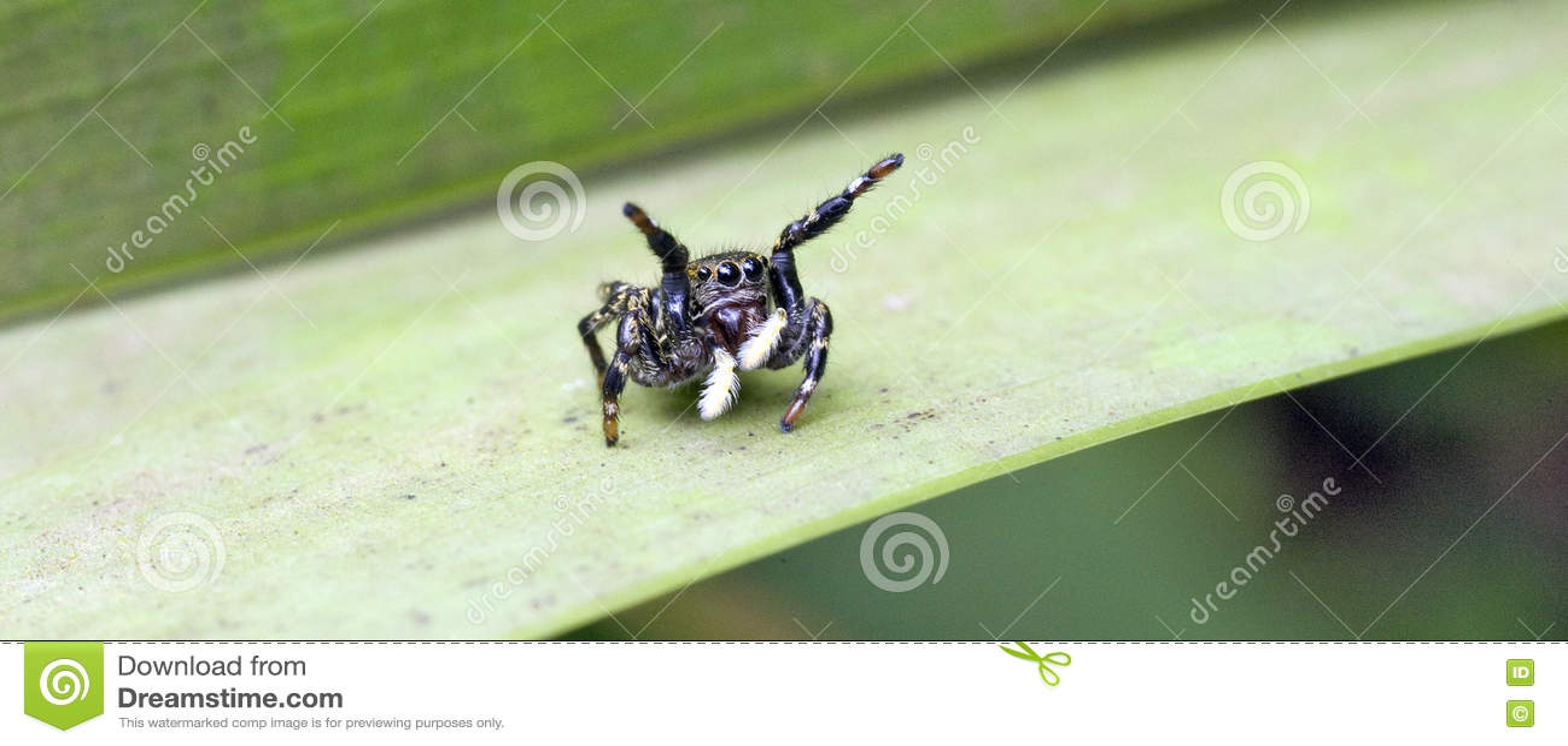 Il ragno che salta fra le foglie del pavimento della foresta