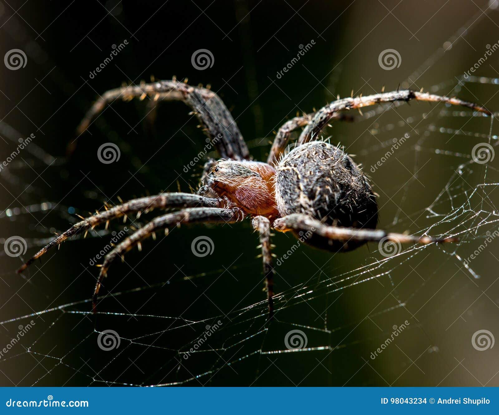 Il ragno si siede su un web sulla caccia