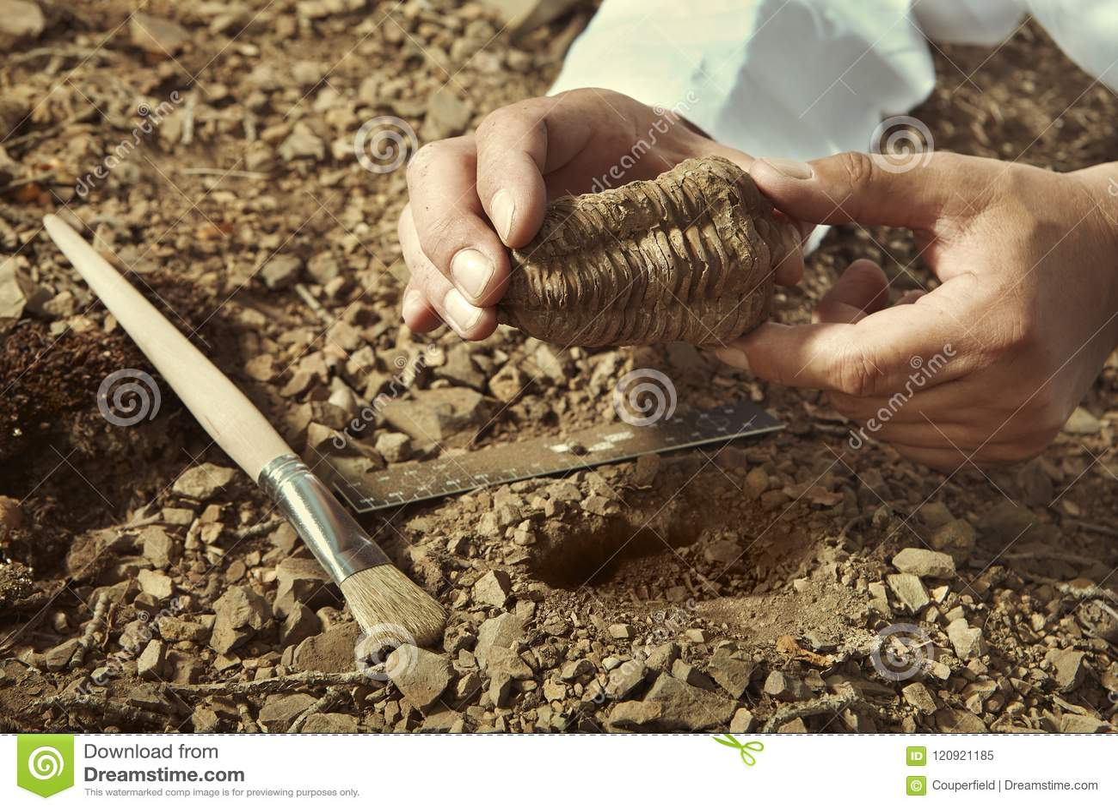 Il ricercatore più anziano prende il fossile di trilobite su posizione rocciosa