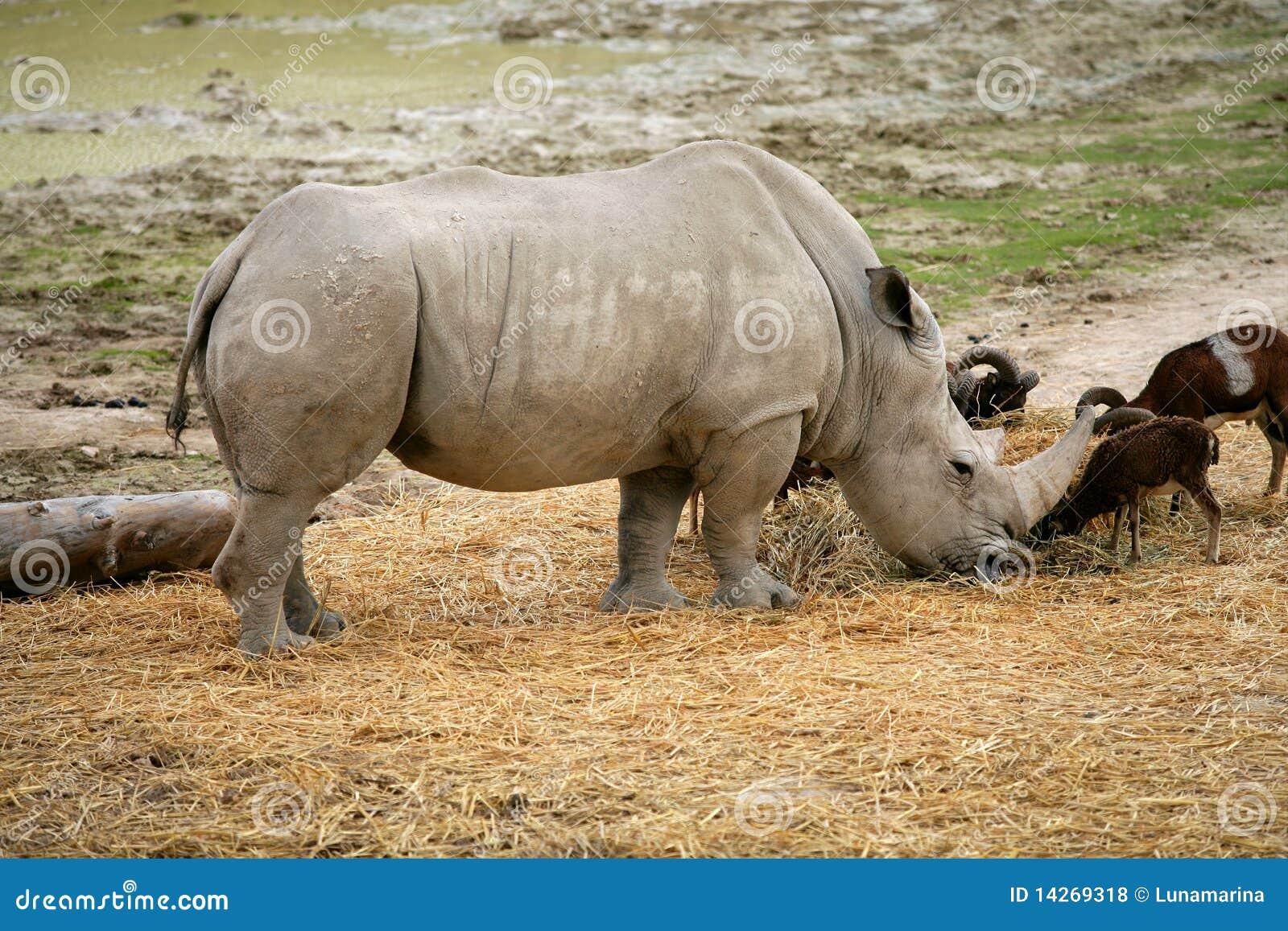Il rinoceronte che mangia il rinoceronte africano si leva in piedi in su