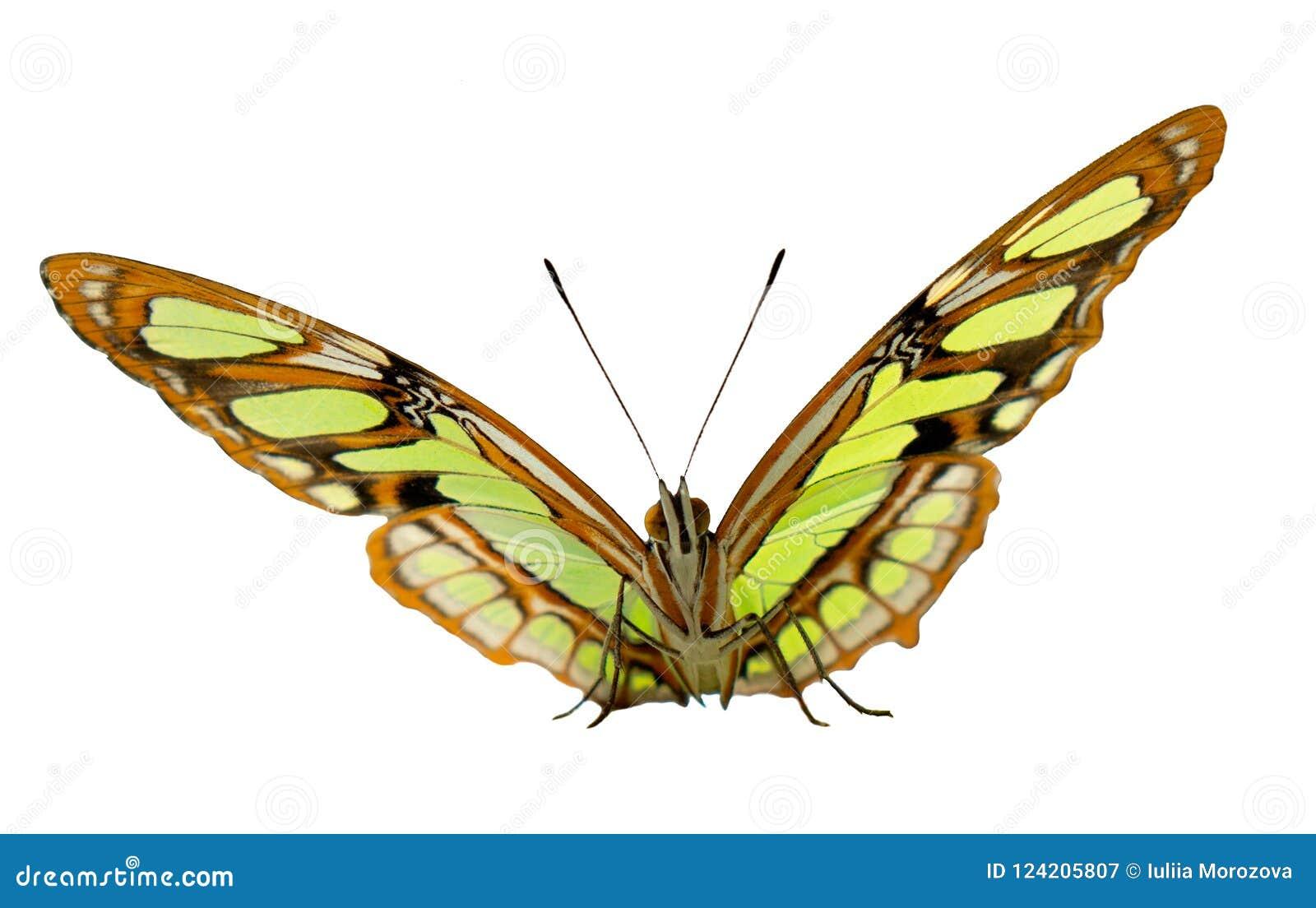 Il ritratto della farfalla della malachite su fondo grigio