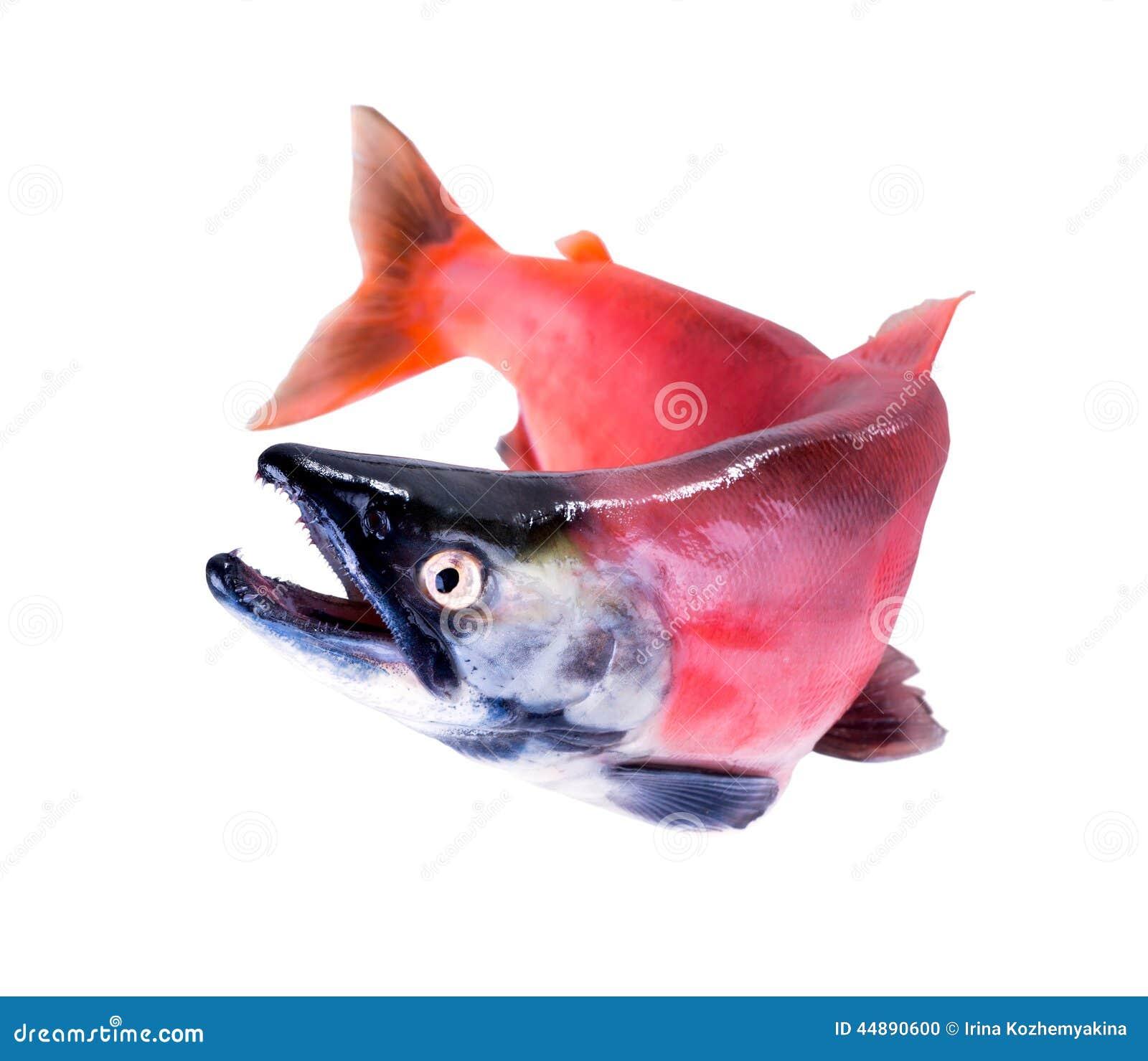Il salmone di kokanee oncorhynchus nerka nel suo for Suo e suo bagno