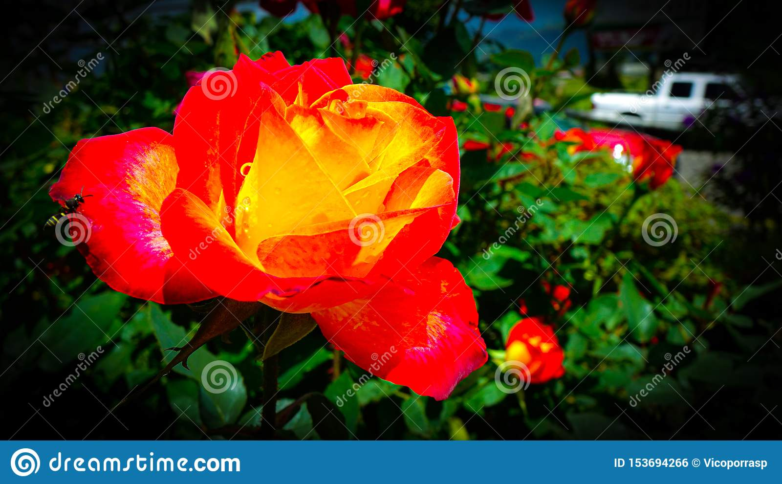 Il segnale acustico e la Rosa arancio su un giardino di abbassamento dell acqua dolce