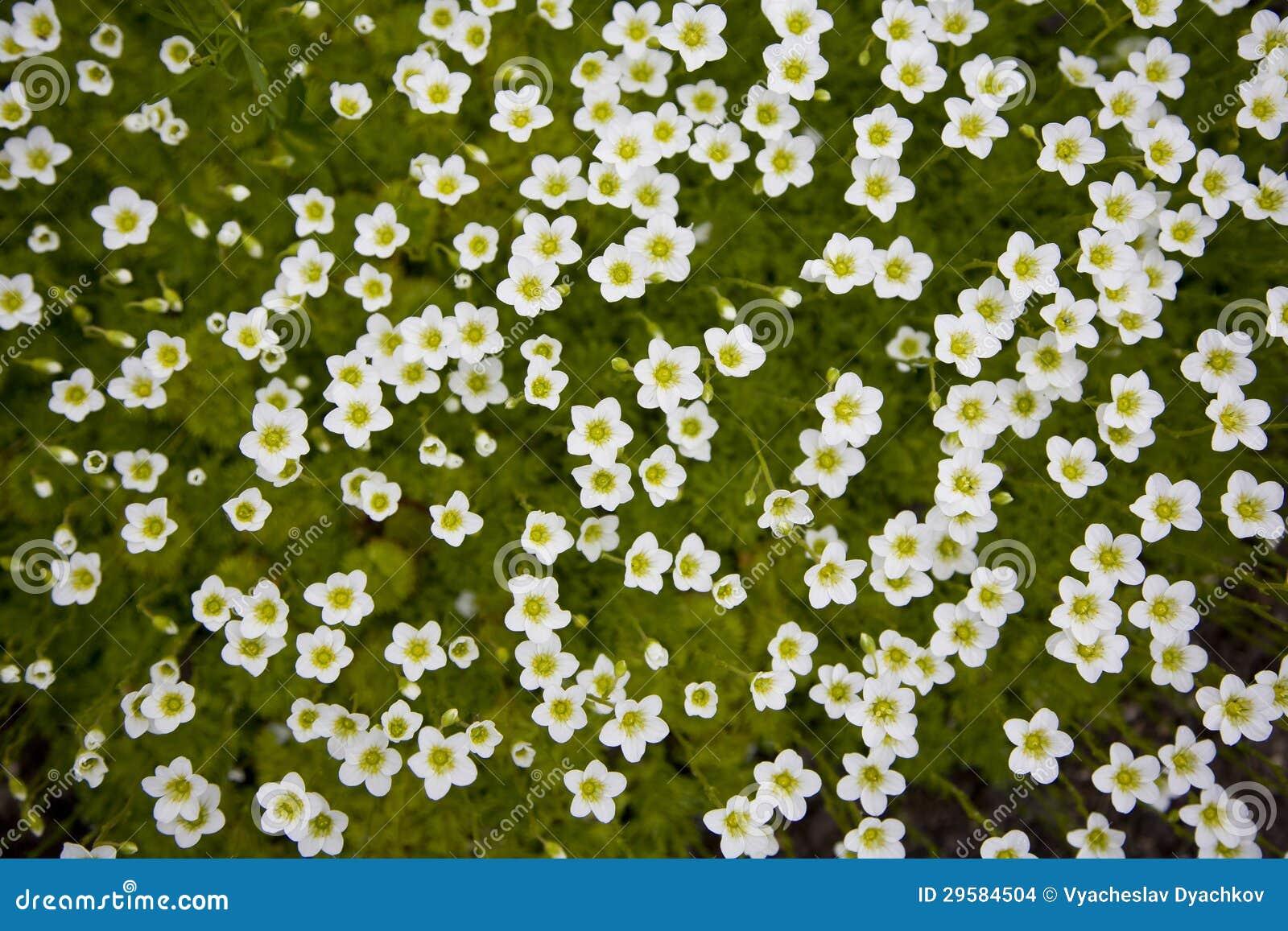 Il tappeto di piccoli fiori bianchi immagini stock for Fiori piccoli bianchi