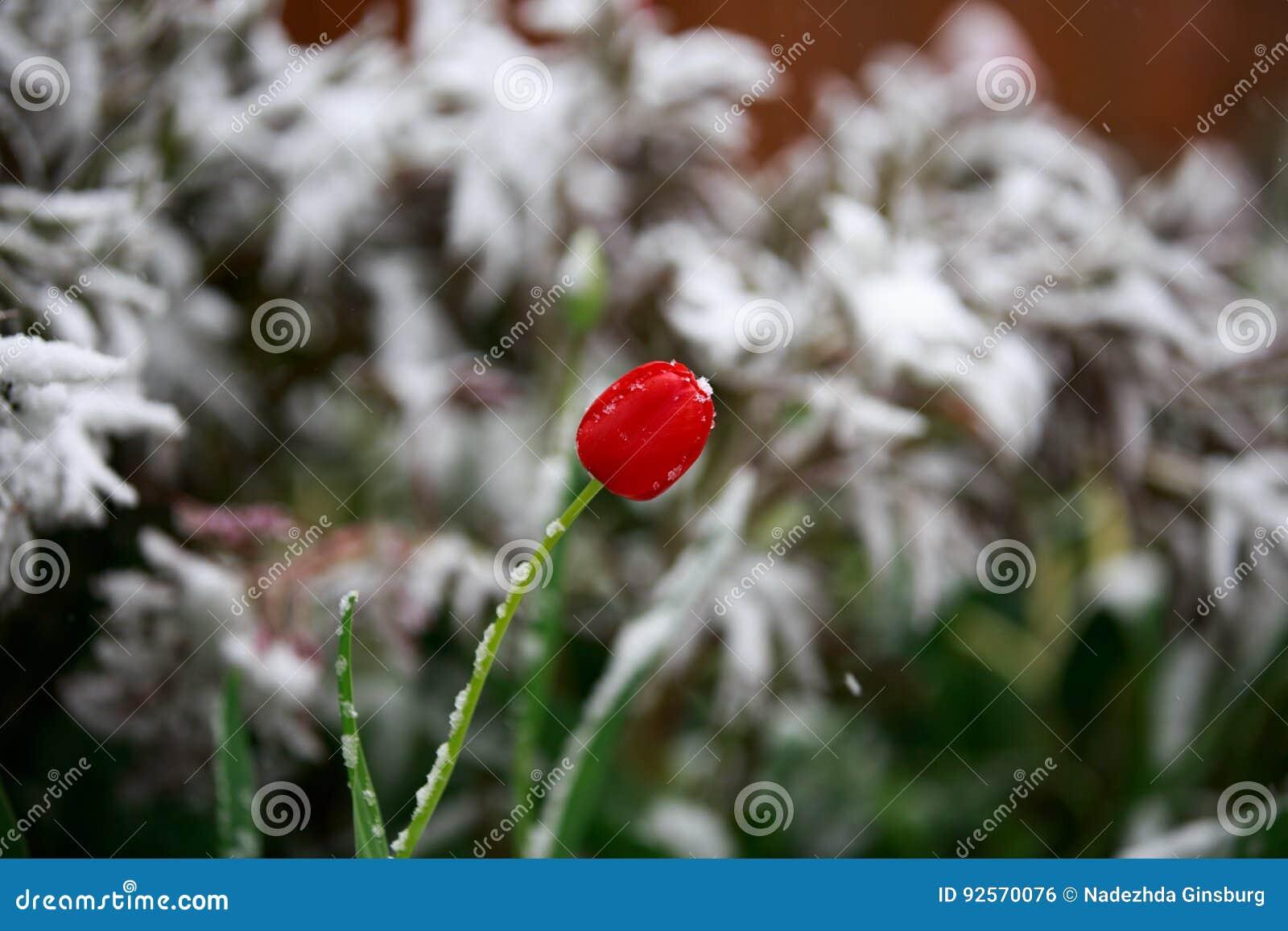 Il tempo anormale in primavera in Siberia in una notte dentro può, coperto di neve e di fioritura