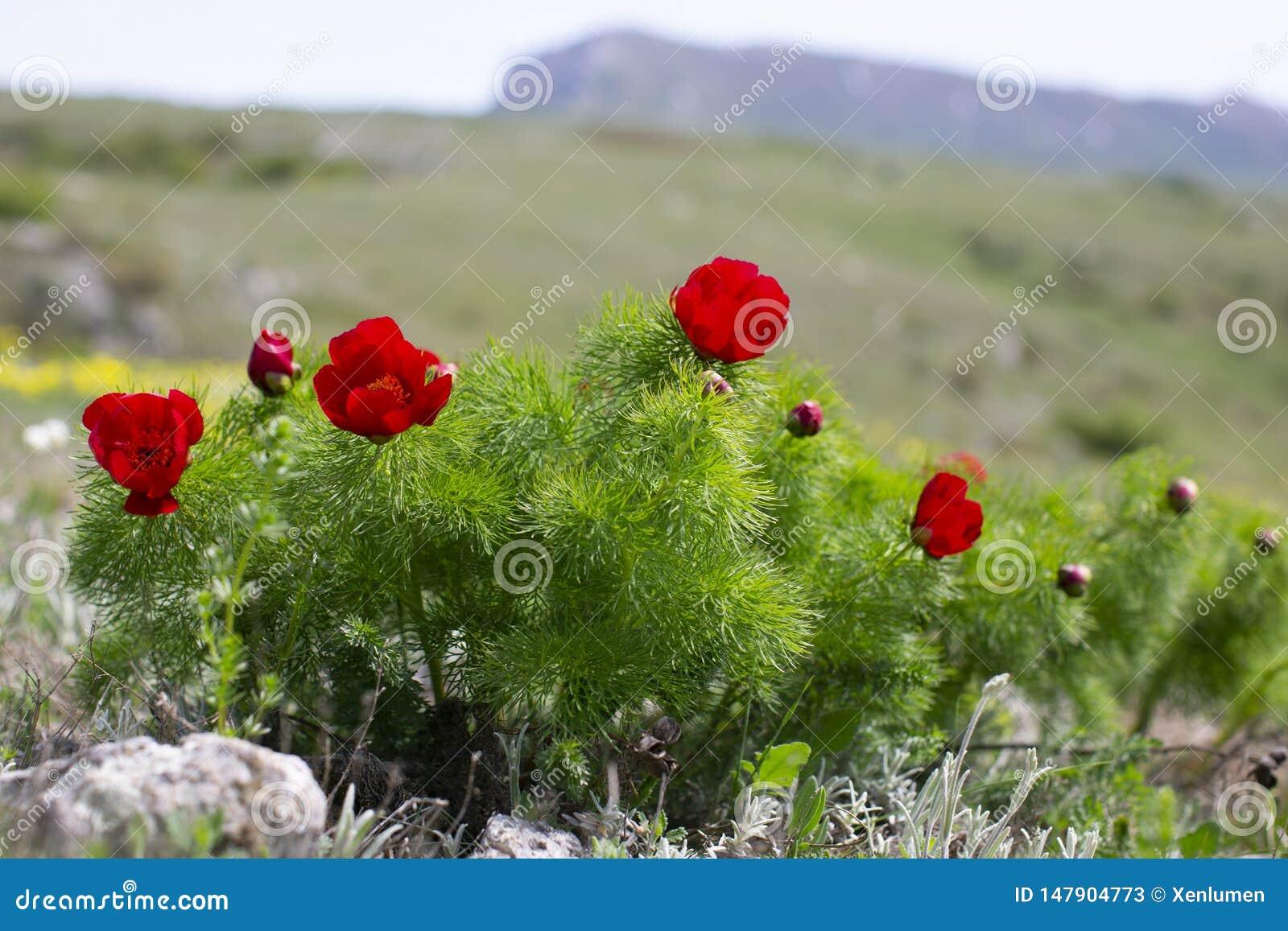 Il tenuifolia di Paeonia, fiore della montagna del prato del wildflower dentro pu?