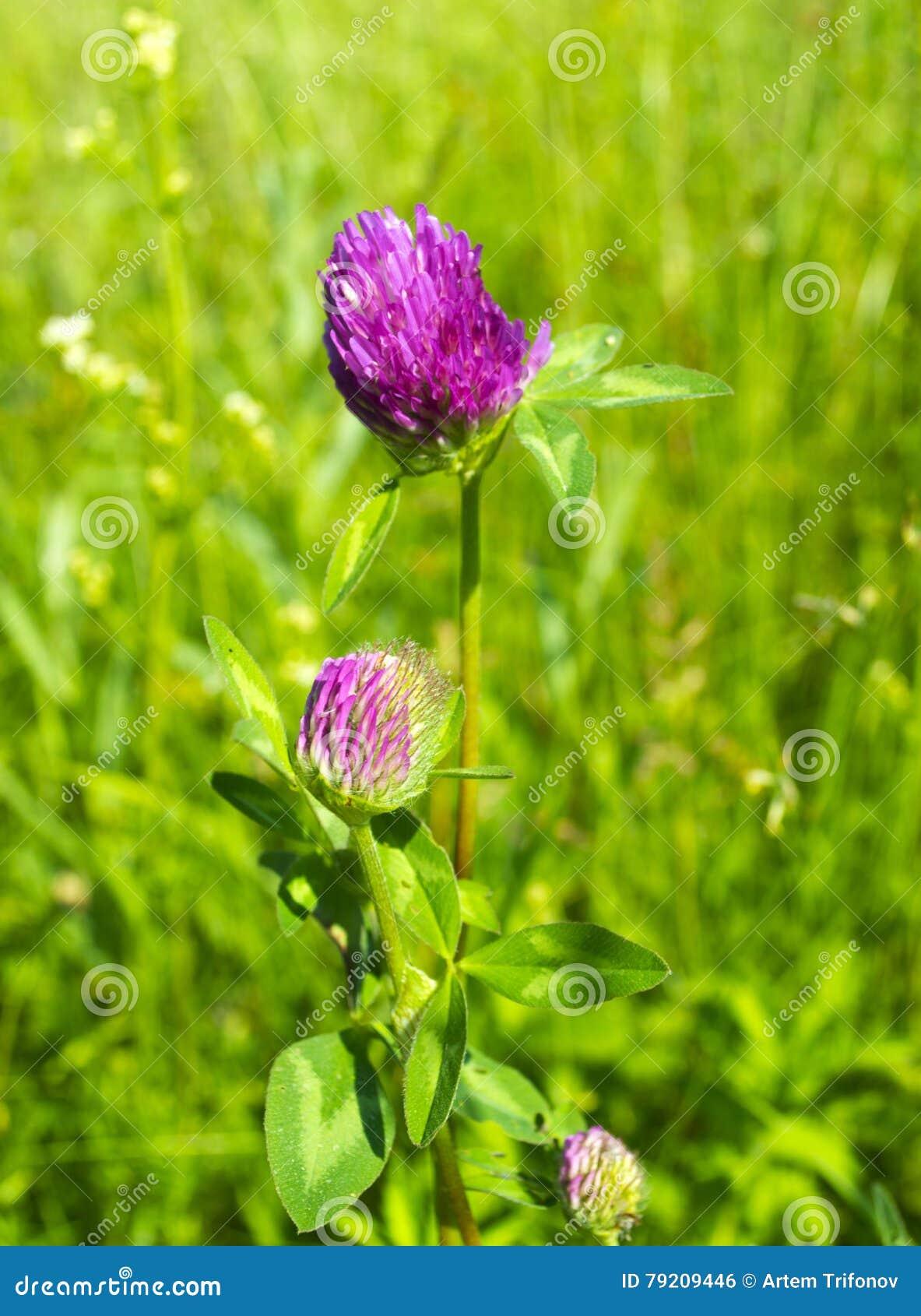 Il trifoglio fiorisce al sole nel campo