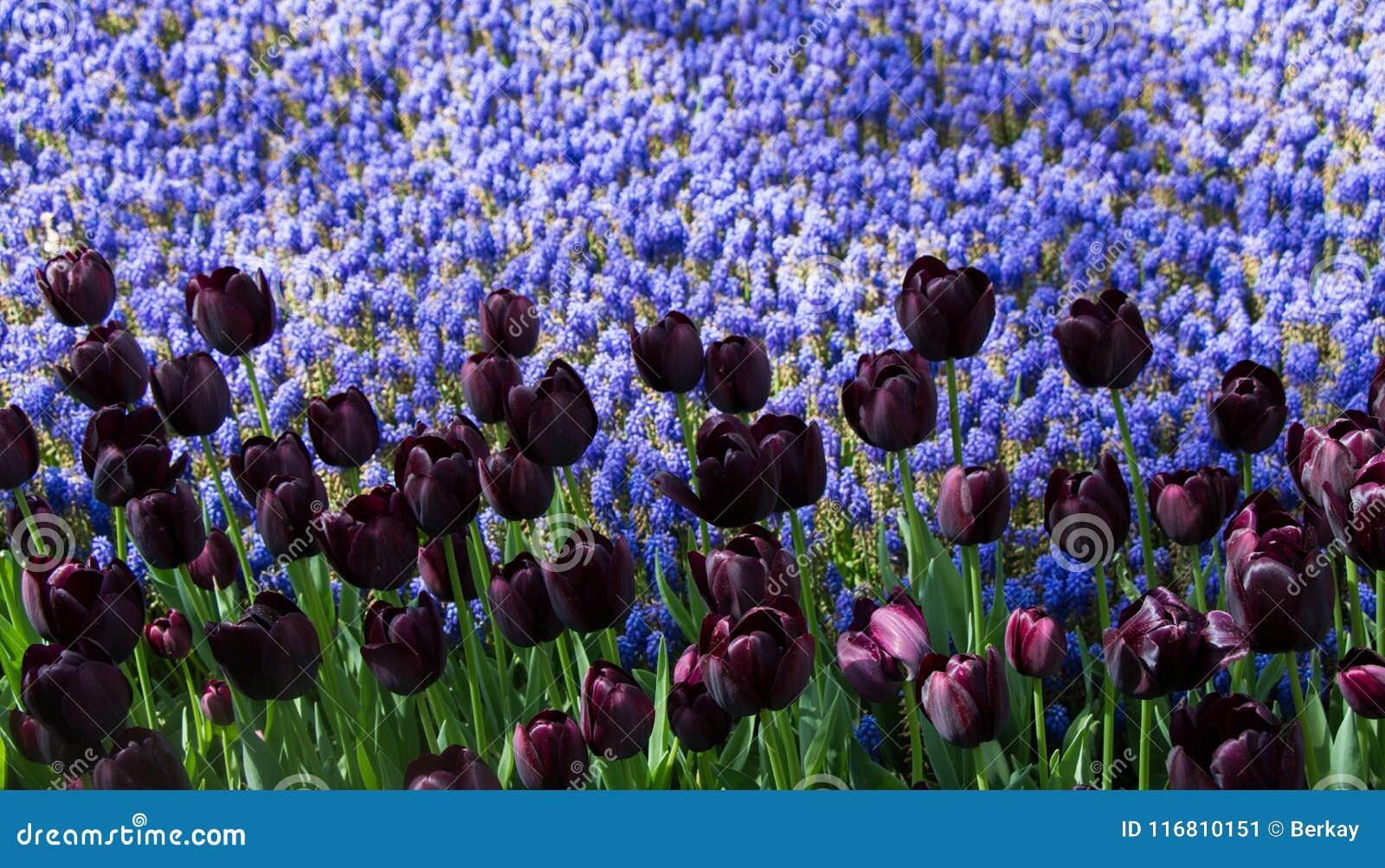 Il tulipano variopinto fiorisce la fioritura nel giardino