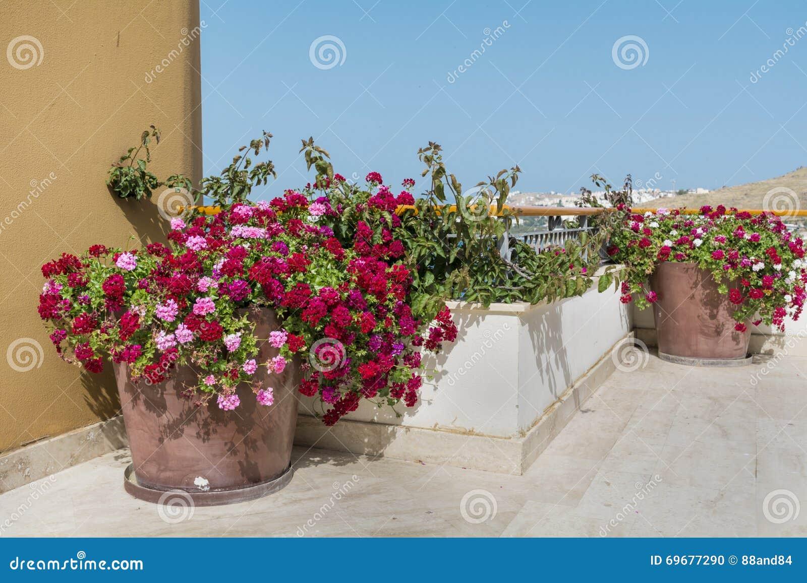Il vaso di argilla con il geranio di fioritura fiorisce su un
