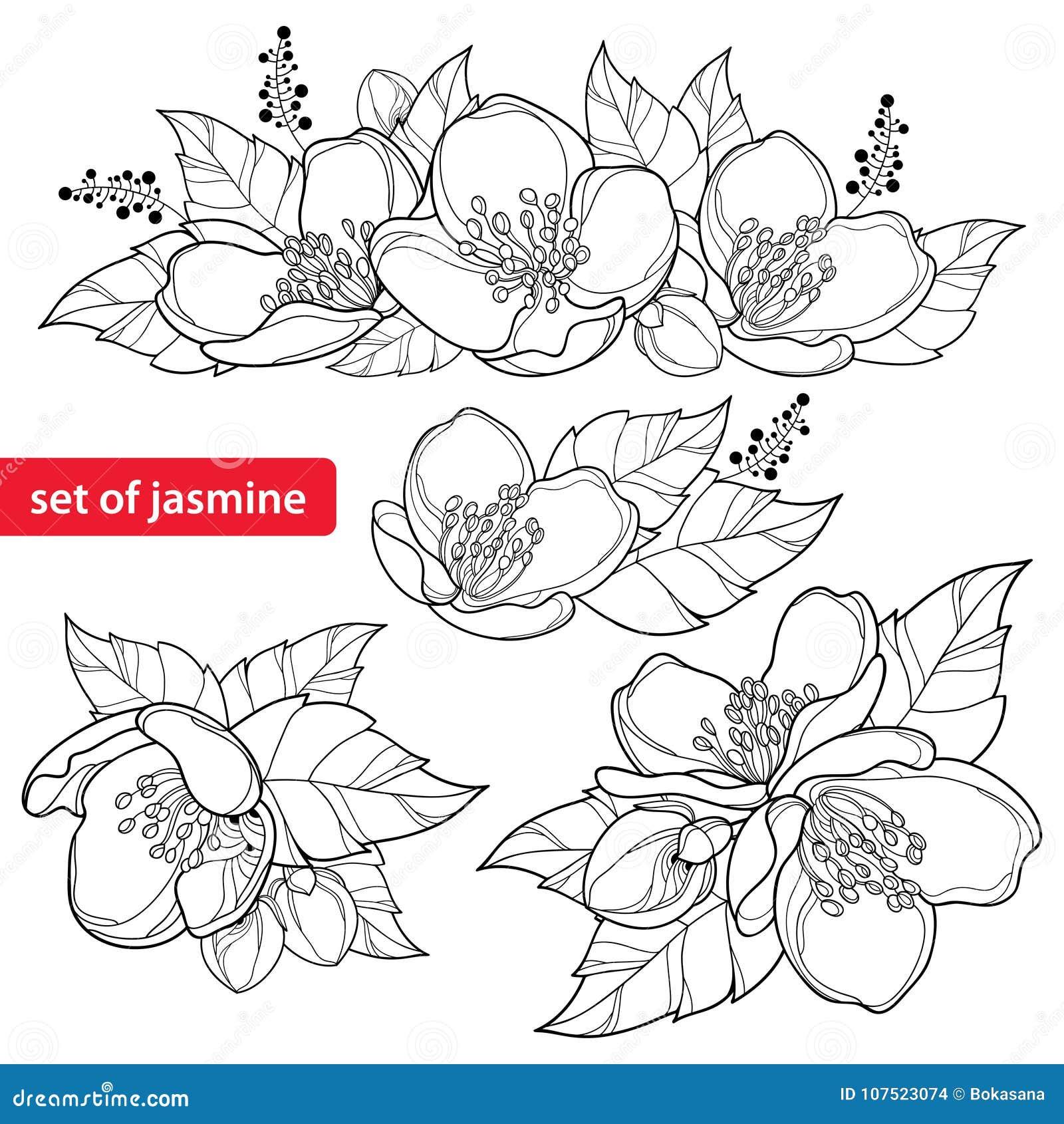 Il vettore ha messo con il mazzo del fiore del gelsomino del profilo, il germoglio e le foglie decorate nel nero isolati su fondo