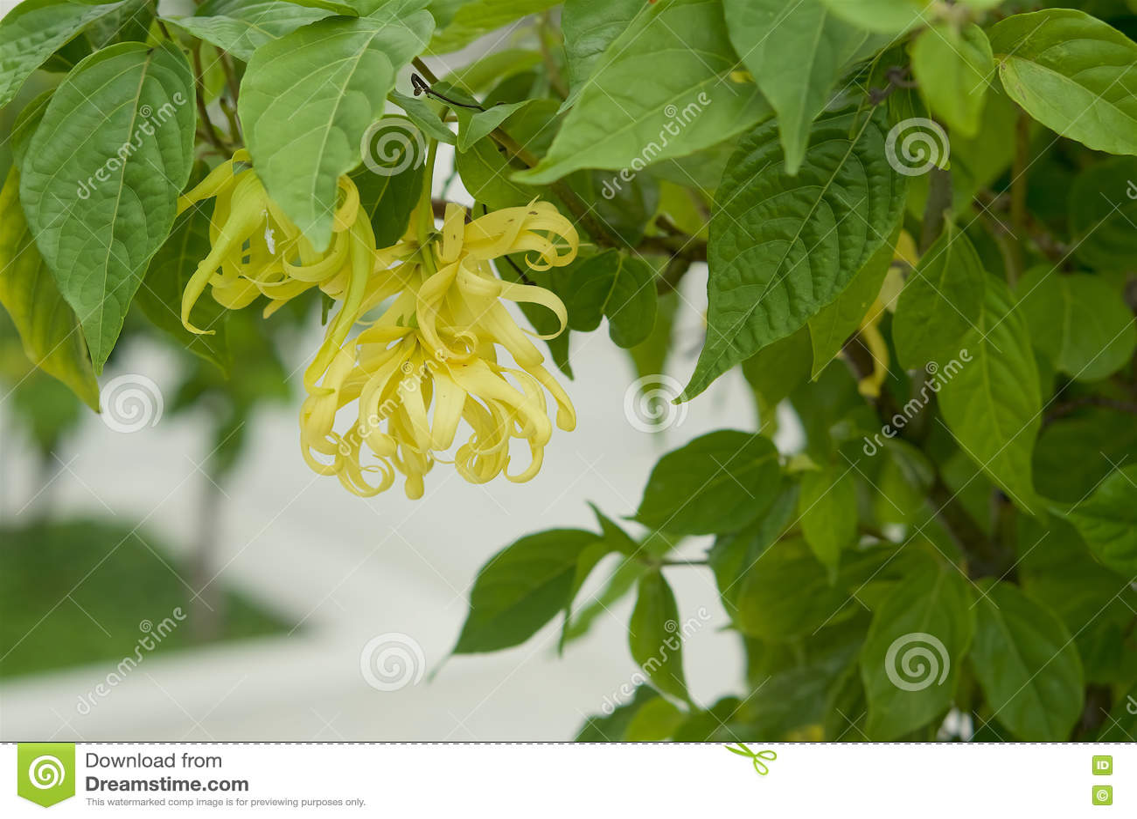 Ilang-Ilang Blume auf Baum