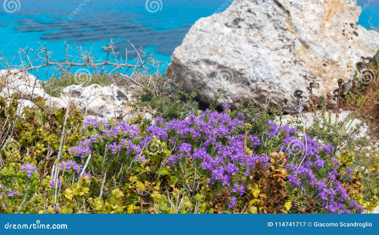 Ilha de Favignana, Trapani, Sicília - mediterrânea esfregue a flora direita sobre o mar de turquesa, com alecrins e outras ervas