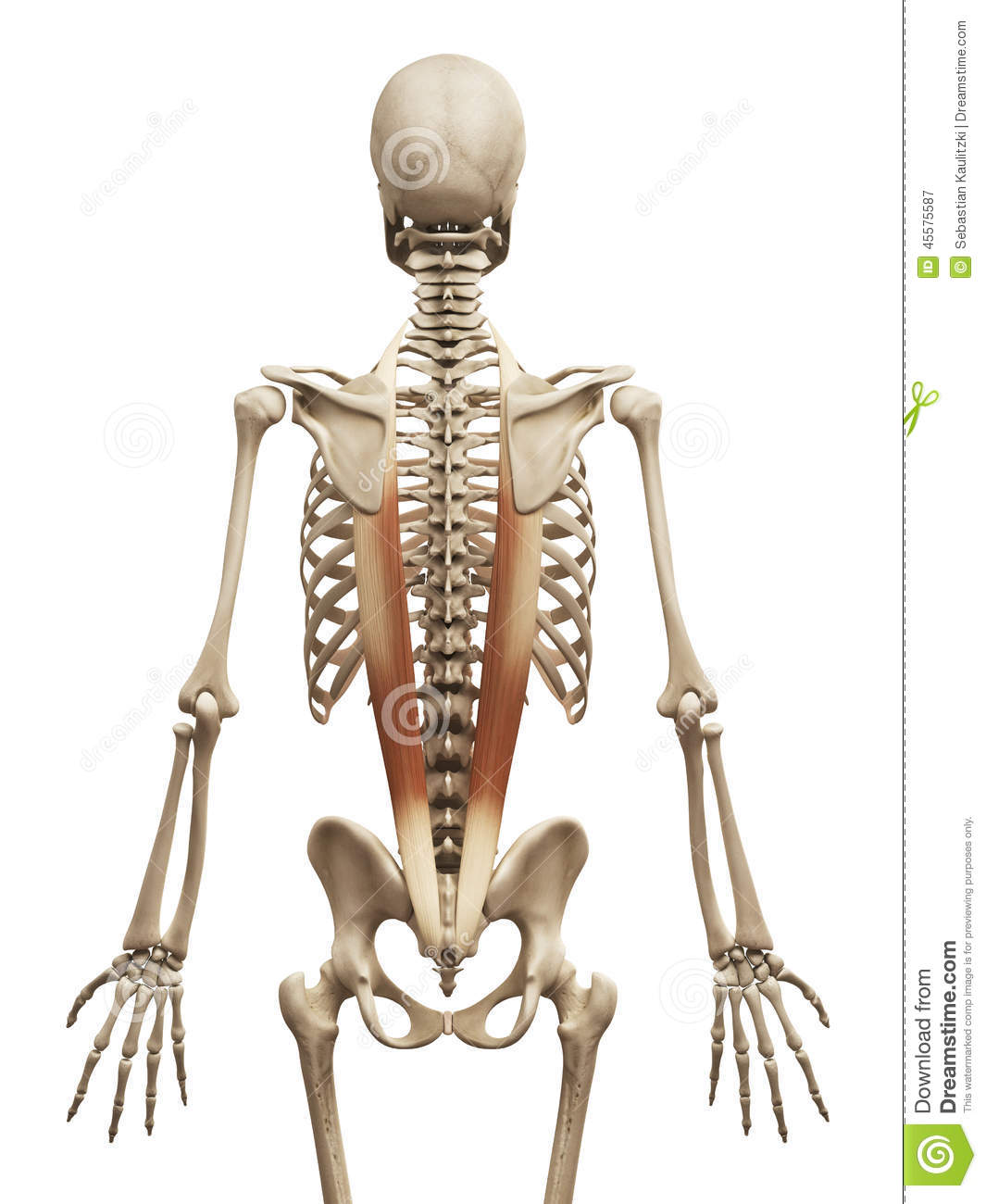 the iliocostalis stock illustration illustration of bones 45575587