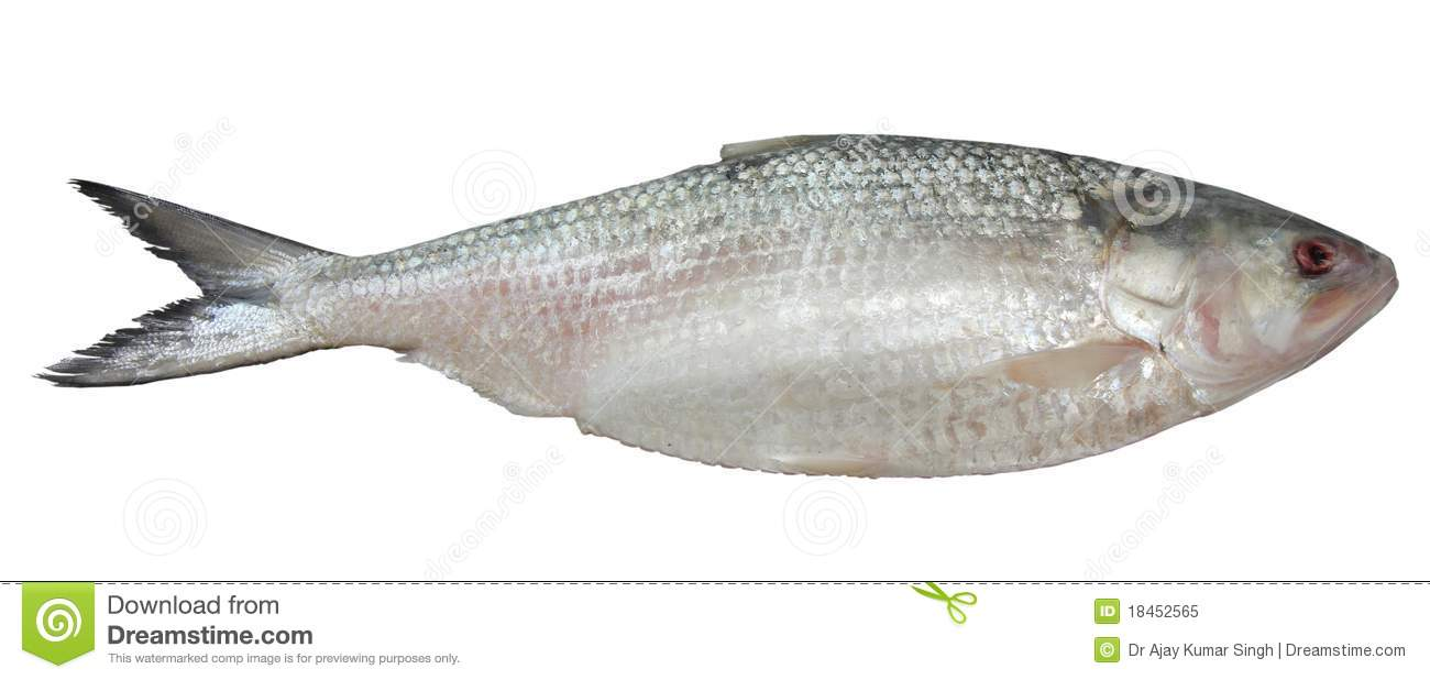Ilish fish isolated on white stock image image of for Image of fish