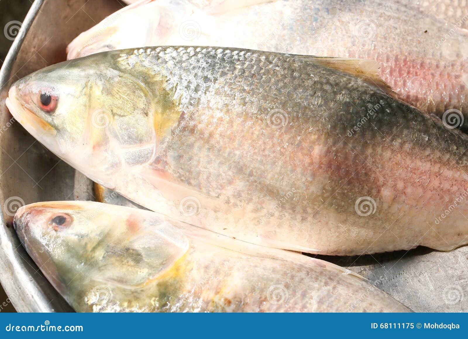 Ilish hilsa fish stock photo image 68111175 for Where to fish
