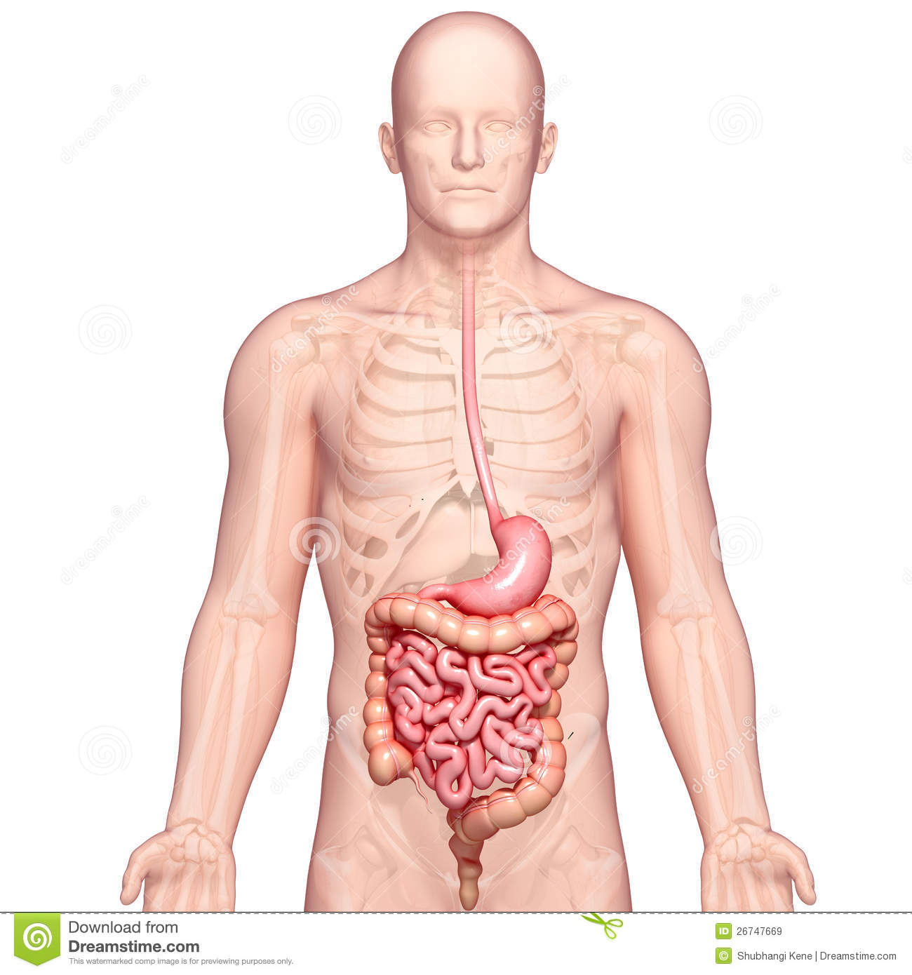 Illustration Of Anatomy Of Human Stomach With Body Stock