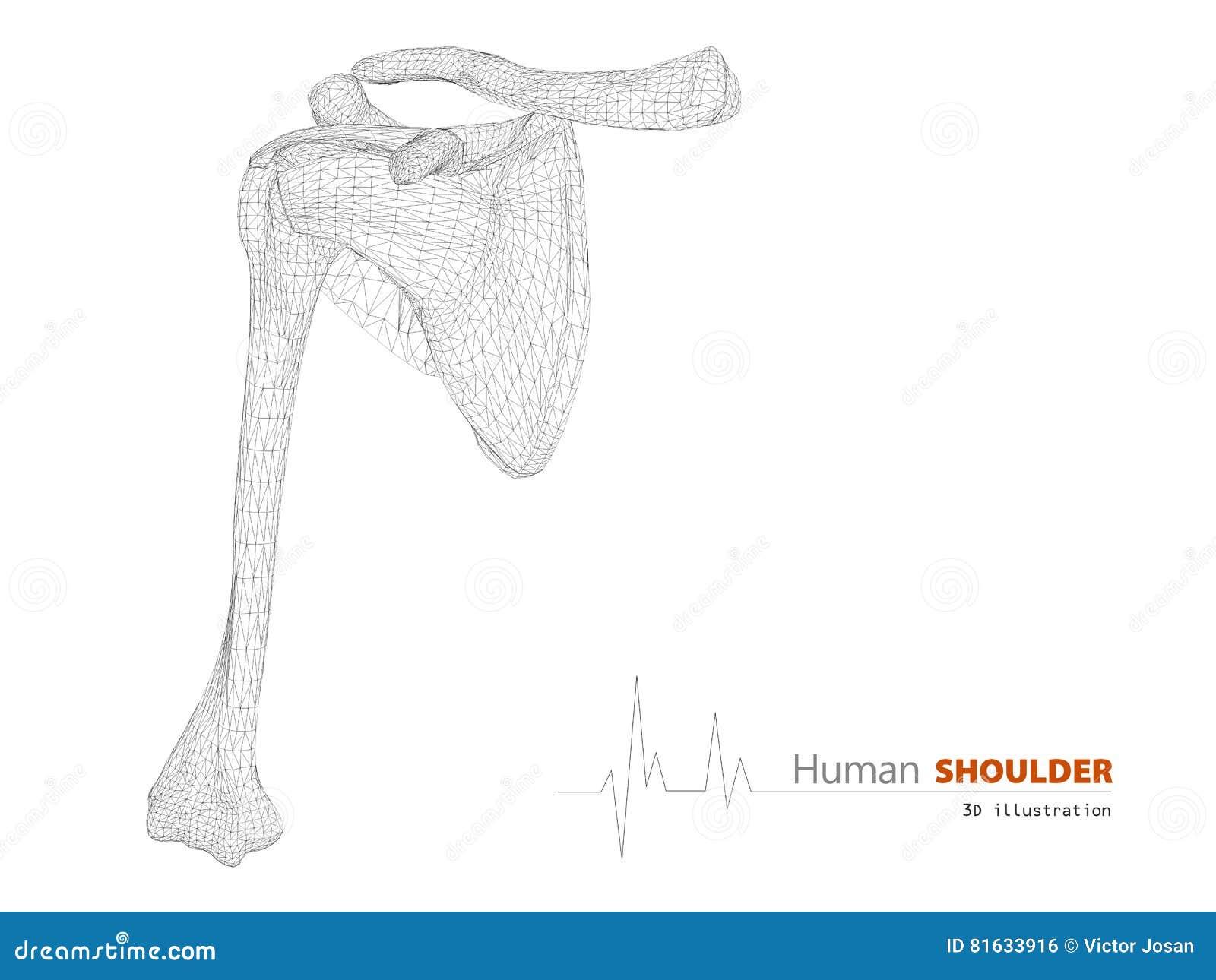 Illustration Auf Menschlicher Anatomie, Schulter-Hintergrund Stock ...