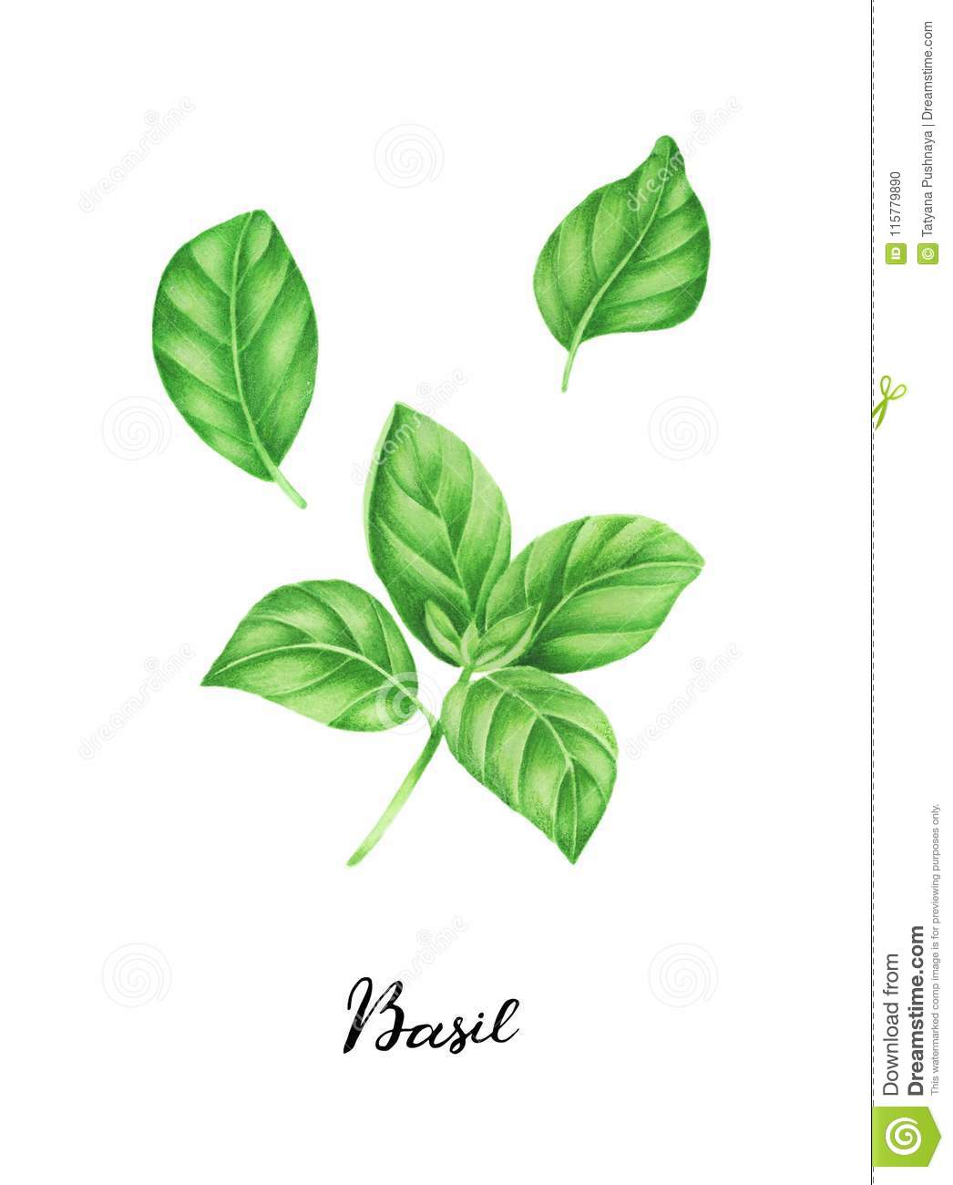 Illustration Of Basil And Lettering Watercolor Painting Stock