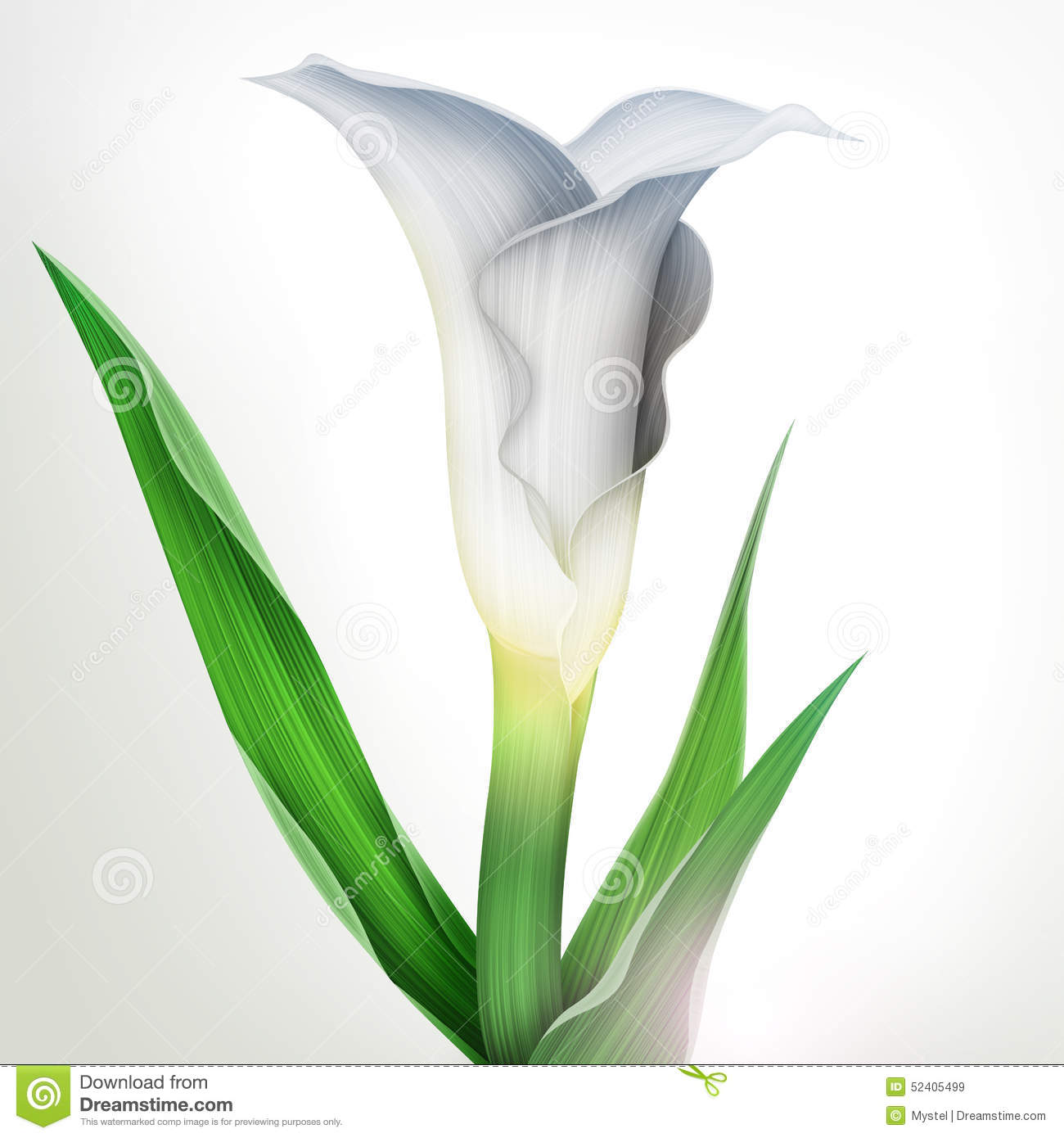 of calla lily flower and green leaves royalty free stock images - Calla Lily Flower