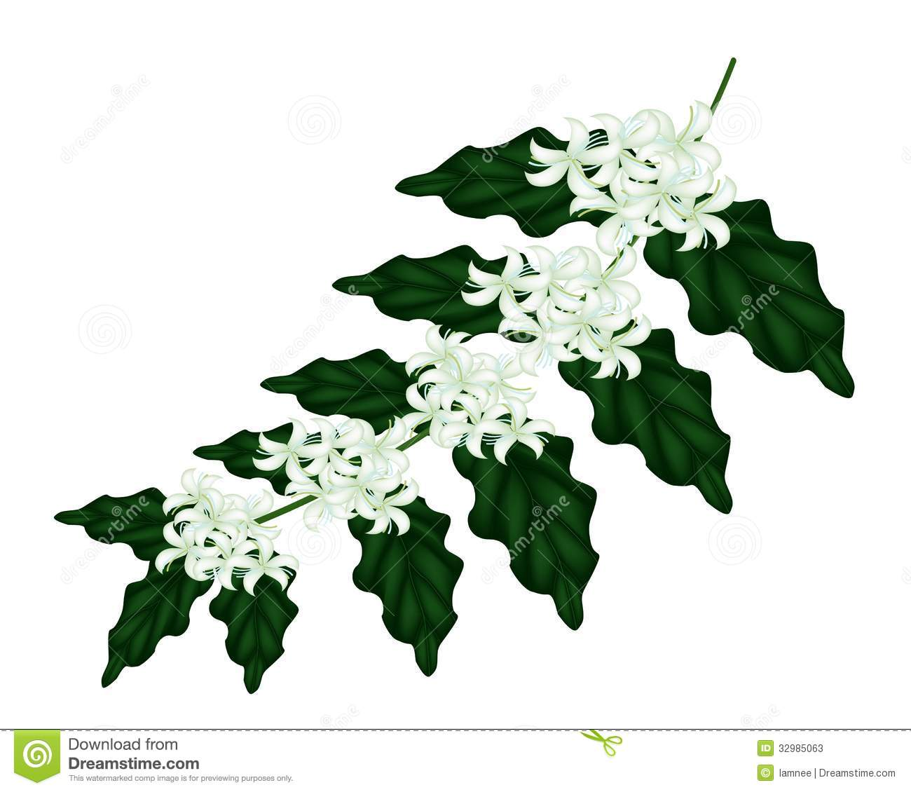 Group Of Fresh White Coffee Tree Blossom On Green Leaves Isolated A