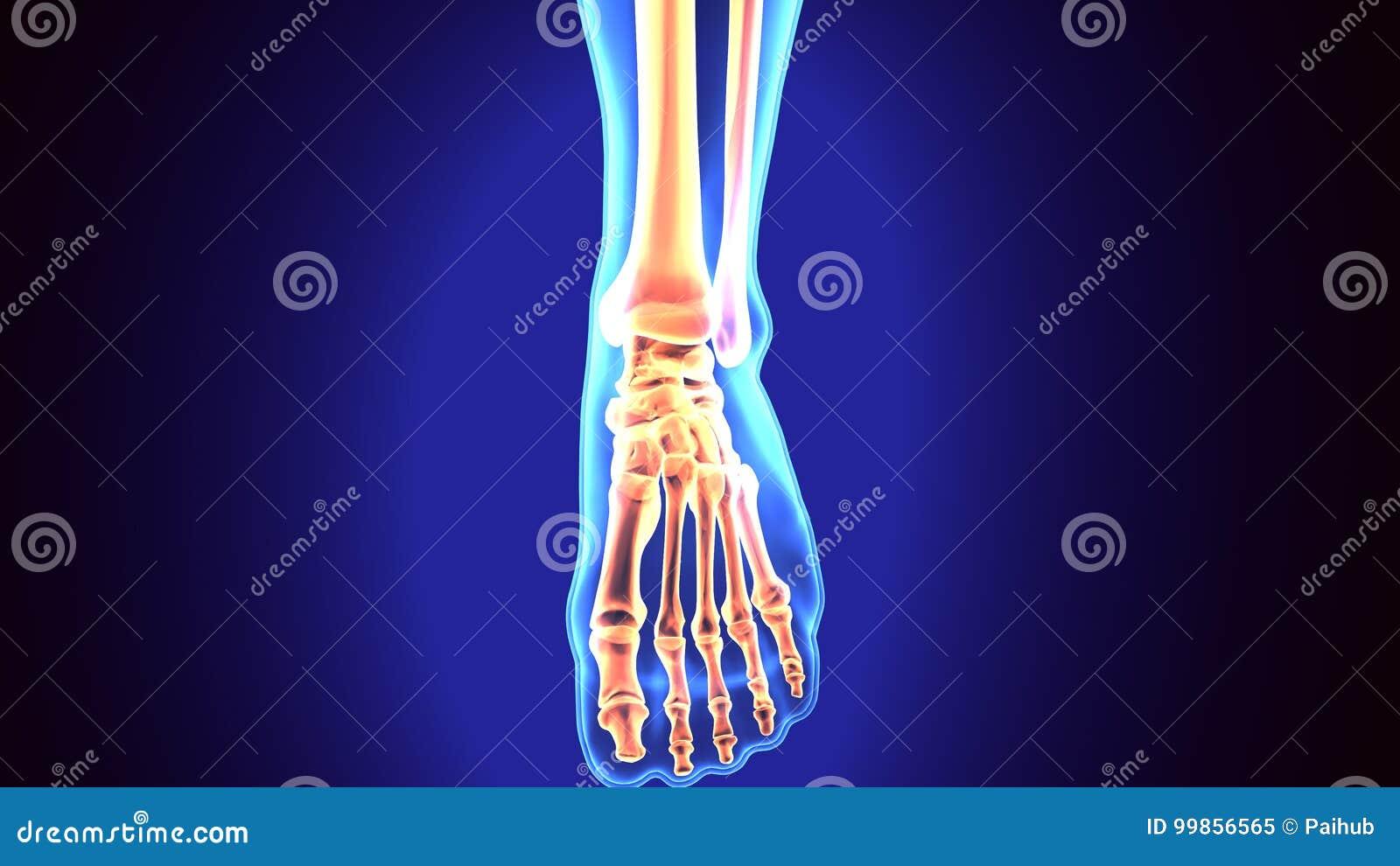 Anatomie Du Pied 3D illustration d'anatomie de pied humain 3d rendent illustration stock