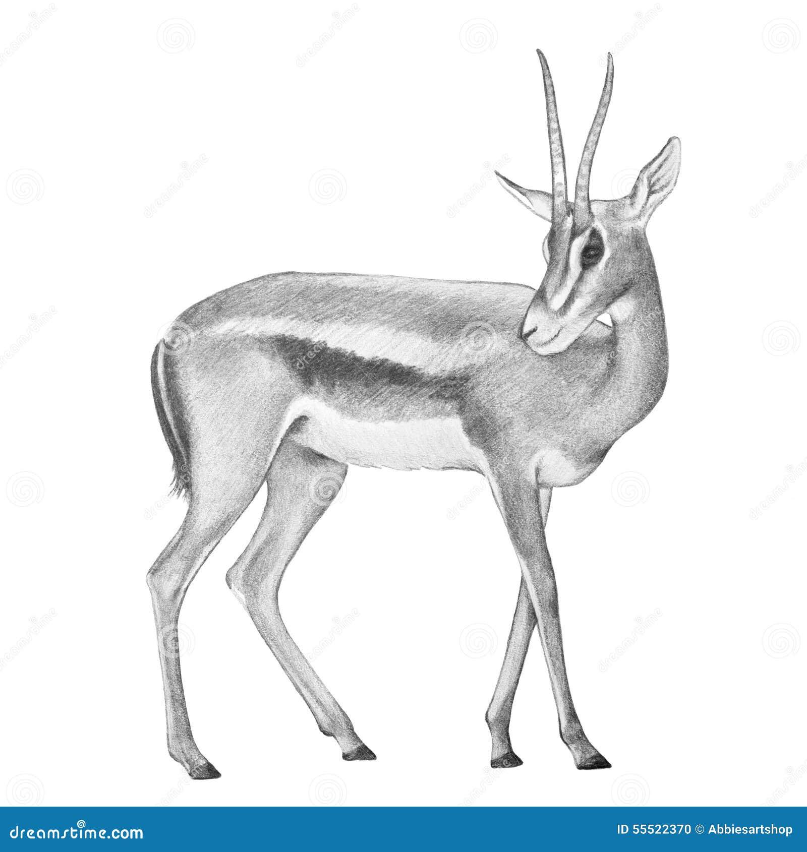 Illustration d 39 antilope de gazelle cerf commun tir par la main de gazelle illustration stock - Gazelle dessin ...