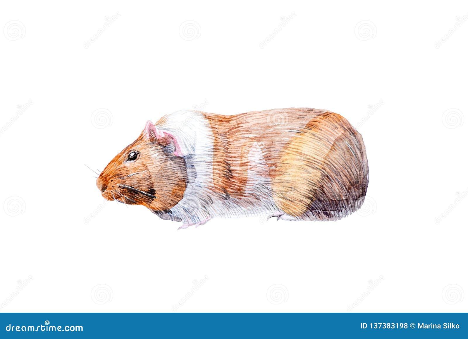 Illustration d aquarelle de famille de cobaye des animaux de rongeur D isolement sur le fond blanc