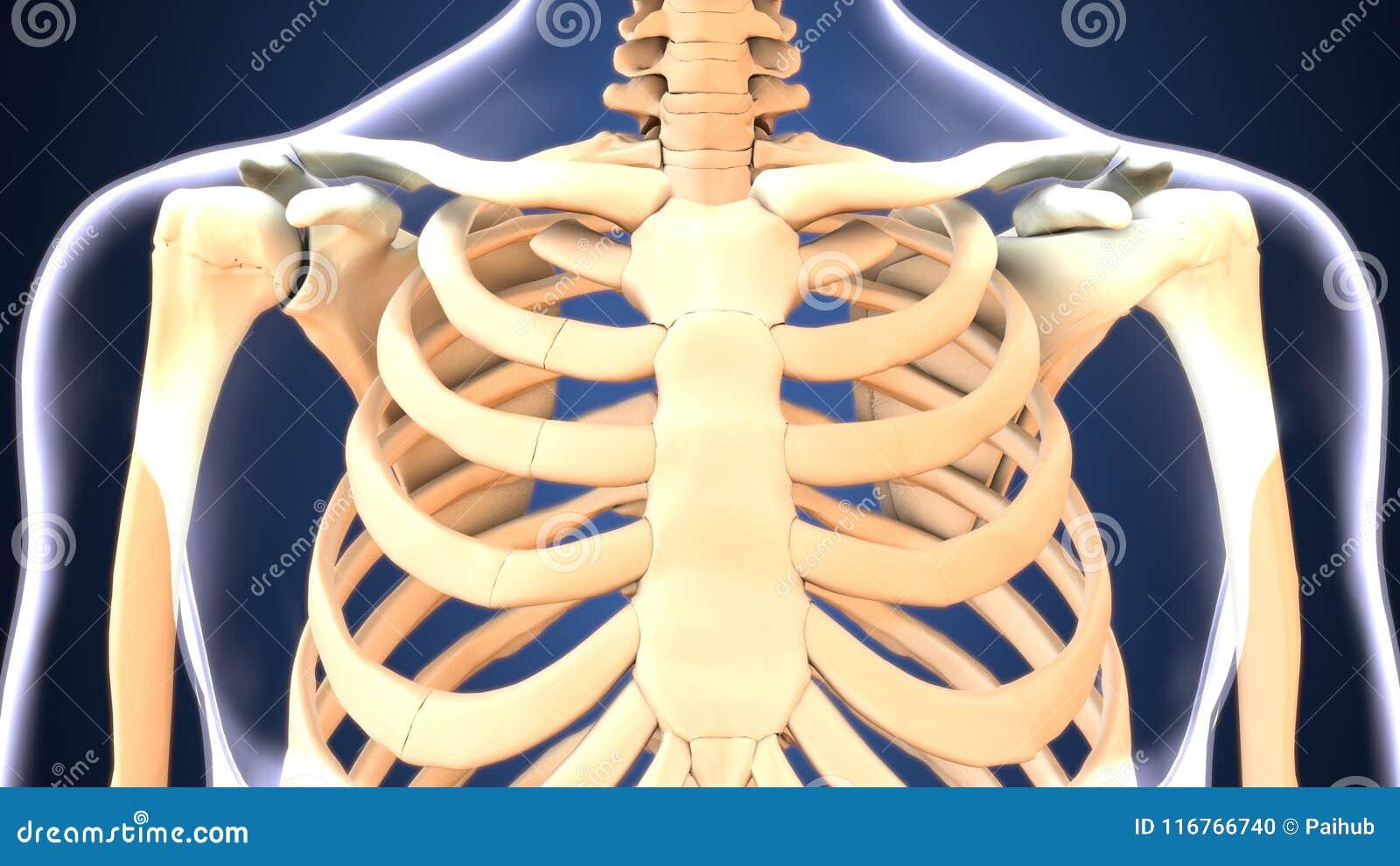 Illustration 3d Des Skeletts Versieht Anatomie Mit Rippen Stock ...