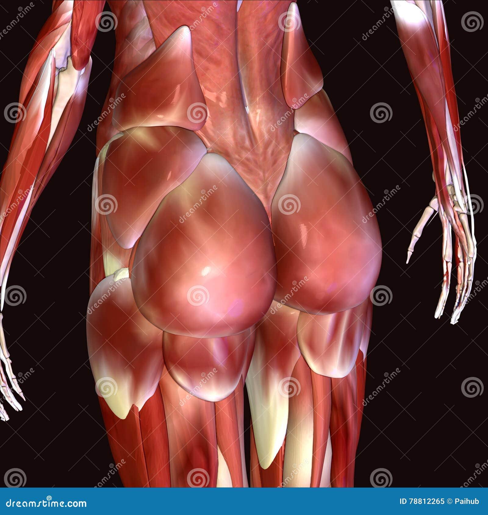Berühmt Anatomie Des Beines Und Hüfte Galerie - Anatomie Von ...