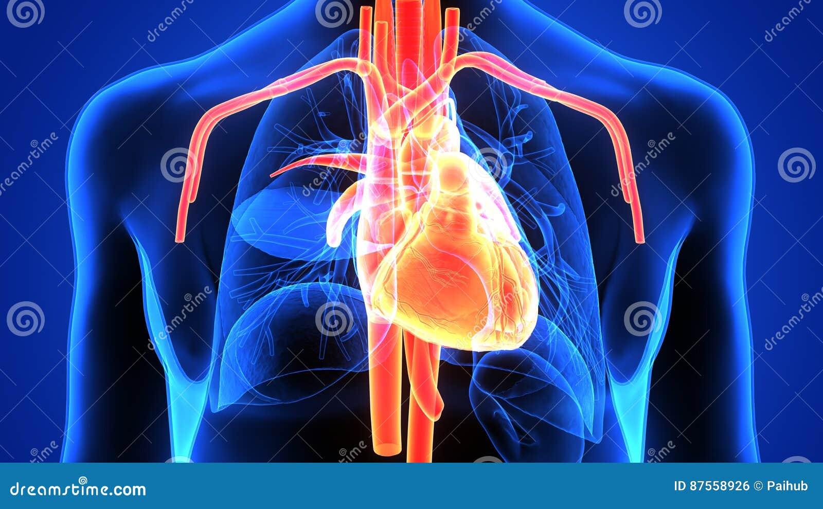 Illustration 3d Von Herzanatomie Des Menschlichen Körpers Stock ...
