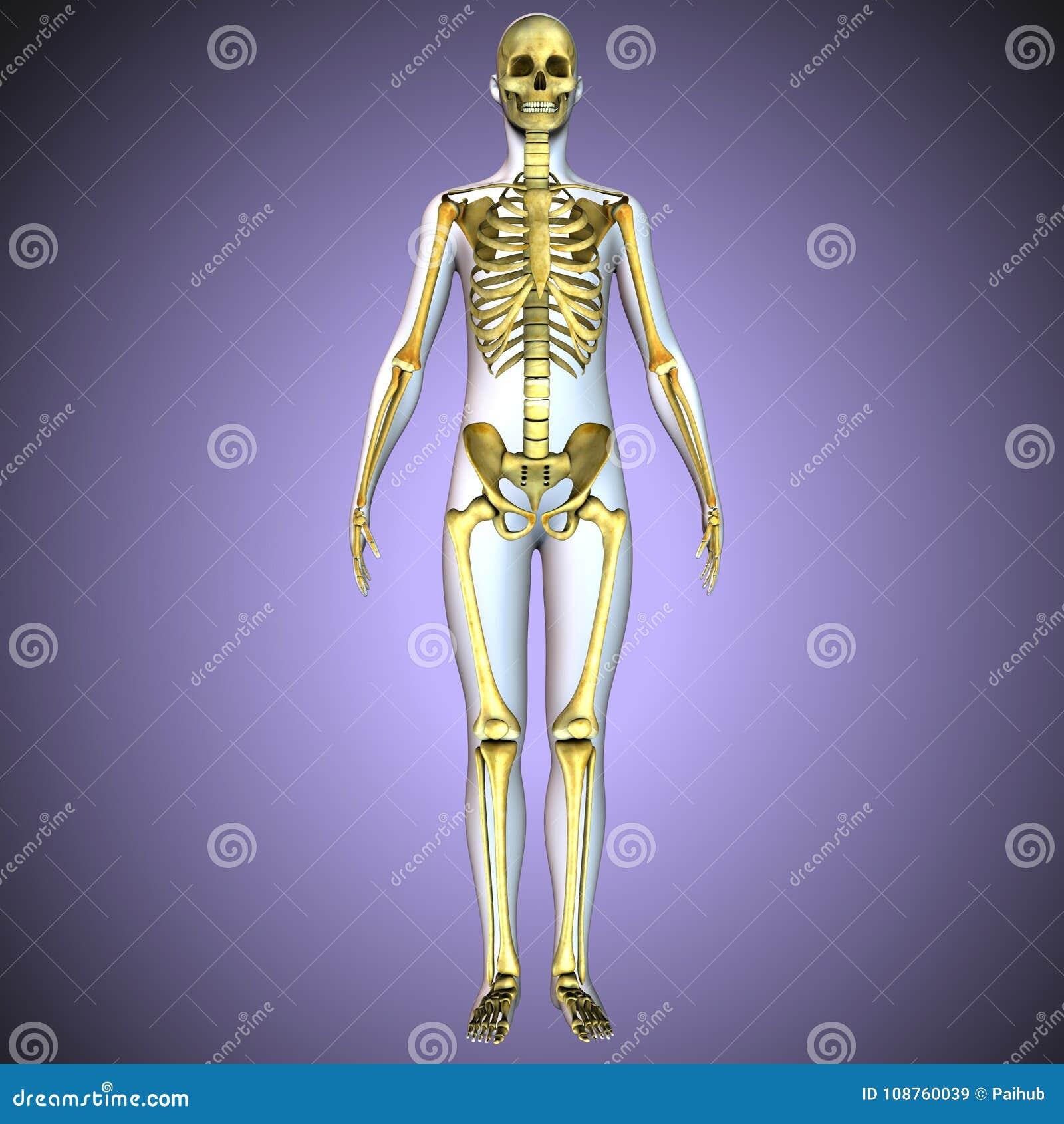 Ungewöhnlich Menschliches Skelett Anatomie Aktivität Ideen ...