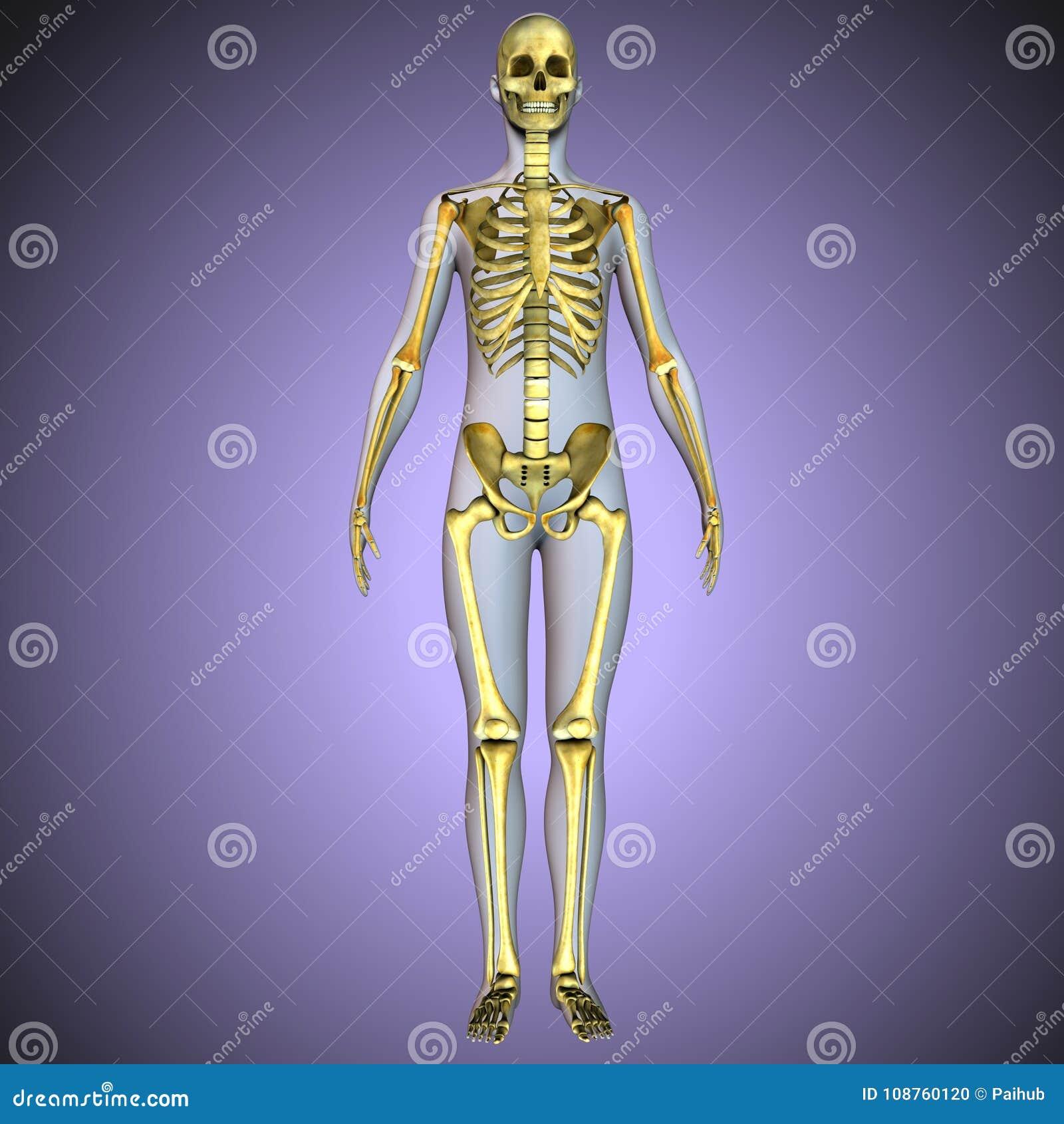 Schön Tragen Skelett Anatomie Bilder - Menschliche Anatomie Bilder ...