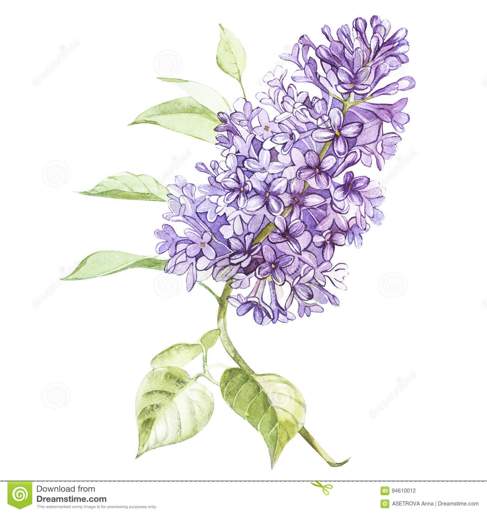 Aquarelle fleurs lilas for Bouquet de fleurs lilas