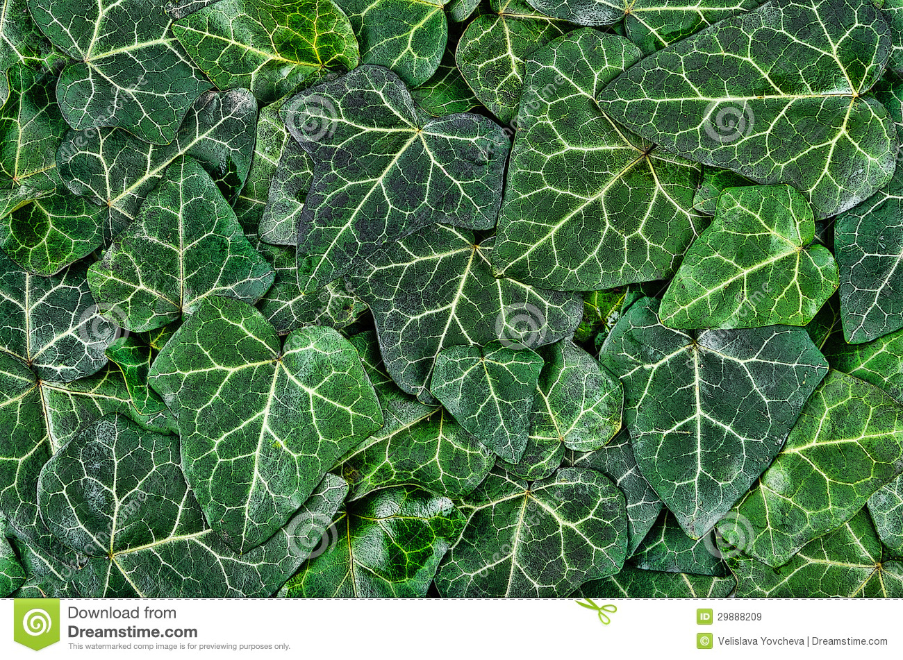 A Background Of Dark Green Ivy Leaves Stock Illustration ...