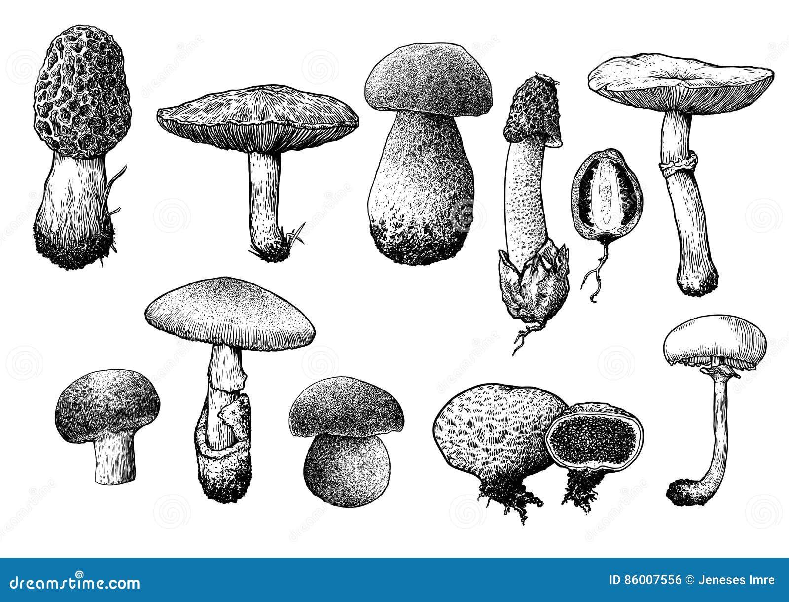 Illustration de collection de champignon, dessin, gravure, schéma